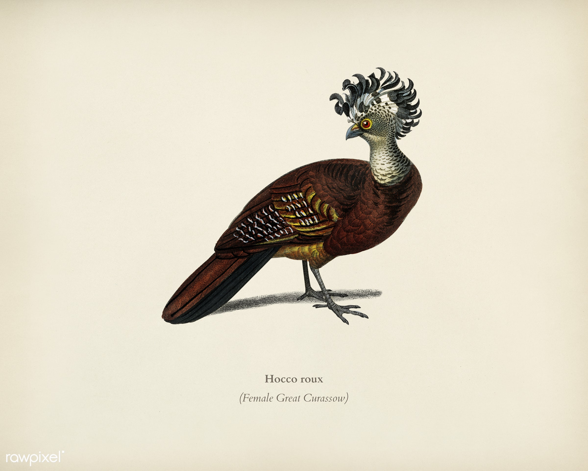 Female great curassow (Hocco roux) illustrated by Charles Dessalines D' Orbigny (1806-1876). Digitally enhanced from our...