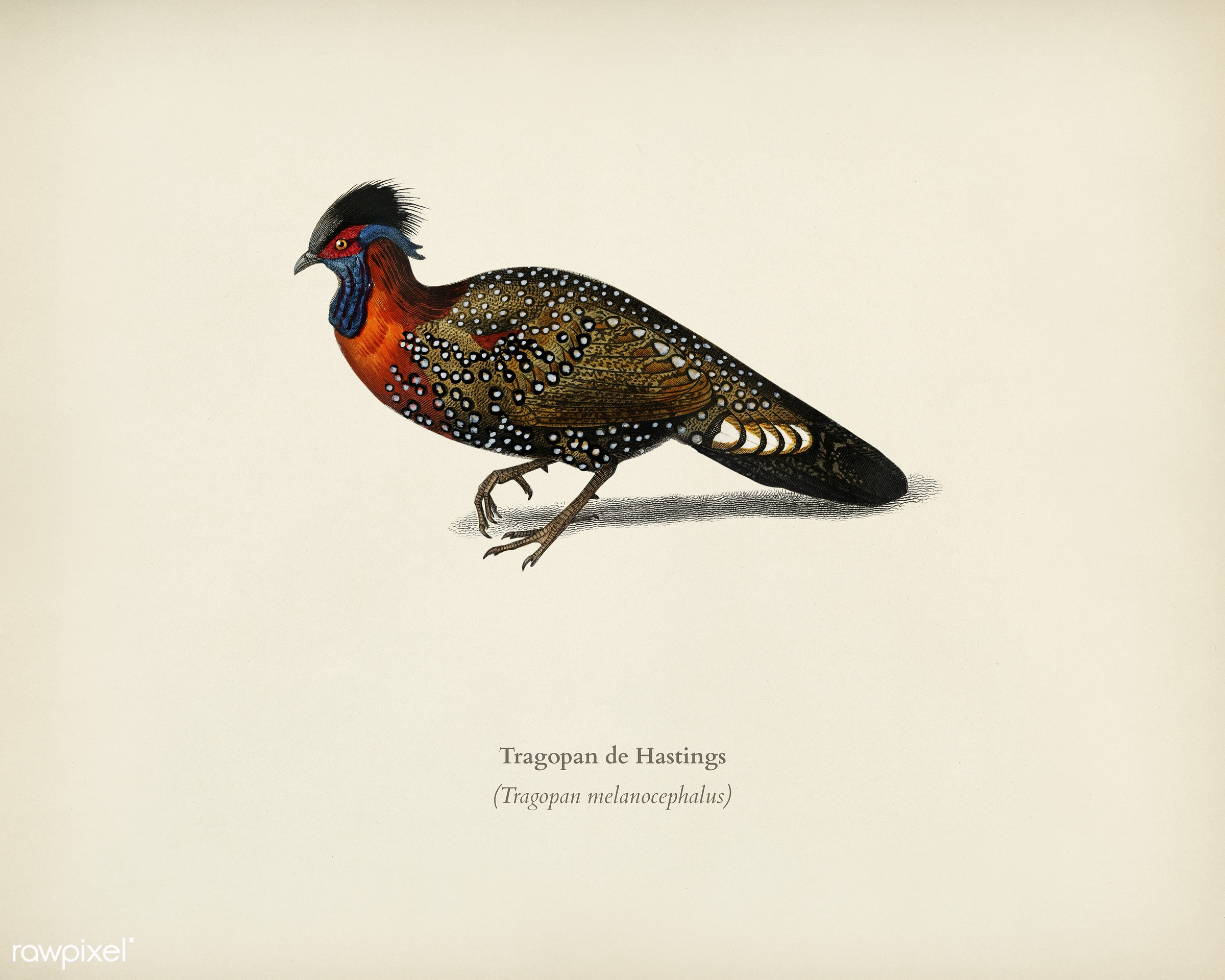 Tragopan de Hastings illustrated by Charles Dessalines D' Orbigny (1806-1876). Digitally enhanced from our own 1892...