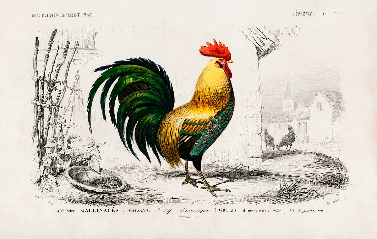 Cock illustrated by Charles Dessalines D' Orbigny (1806-1876). Digitally enhanced from our own 1892 edition of Dictionnaire…