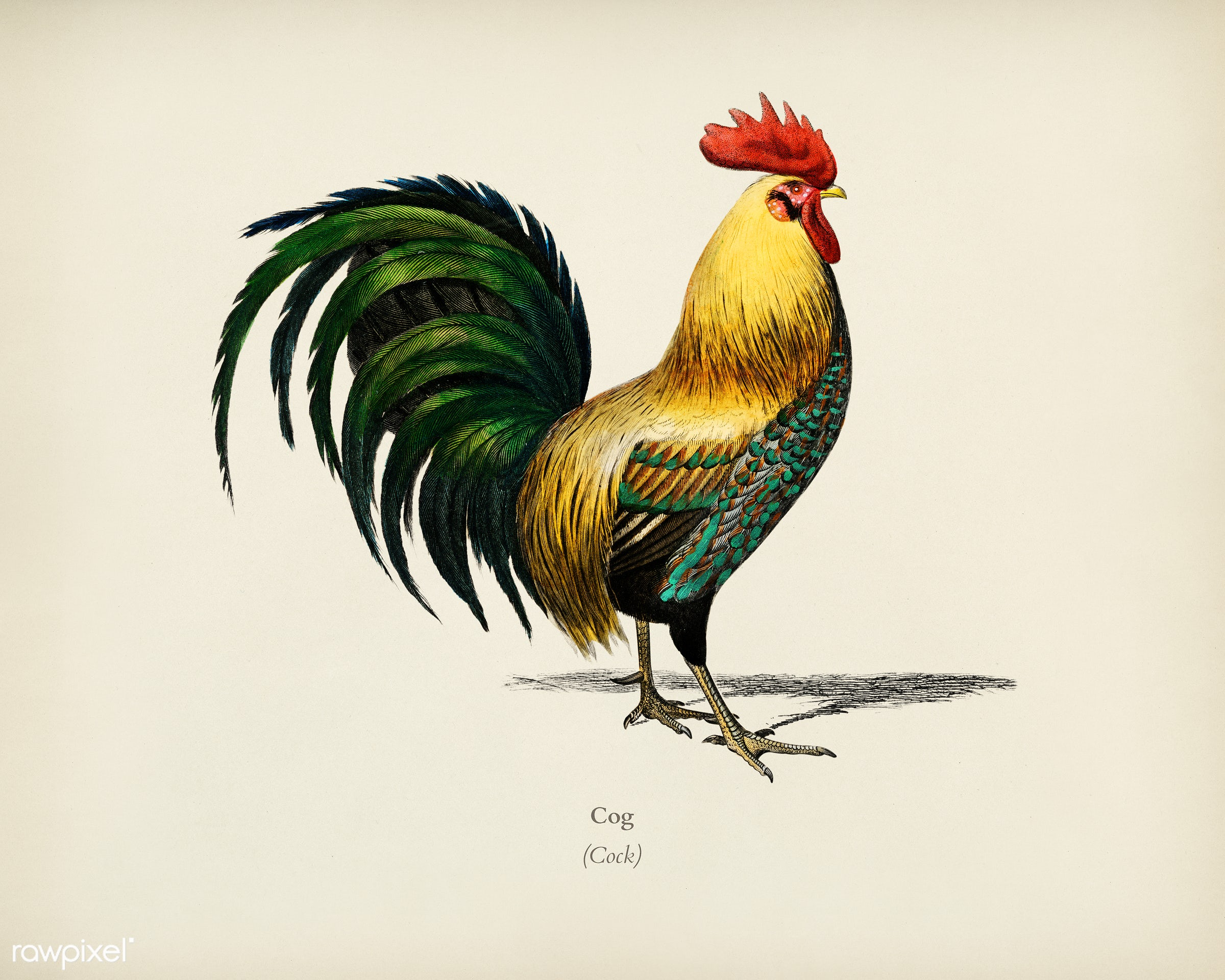 Cock illustrated by Charles Dessalines D' Orbigny (1806-1876). Digitally enhanced from our own 1892 edition of...