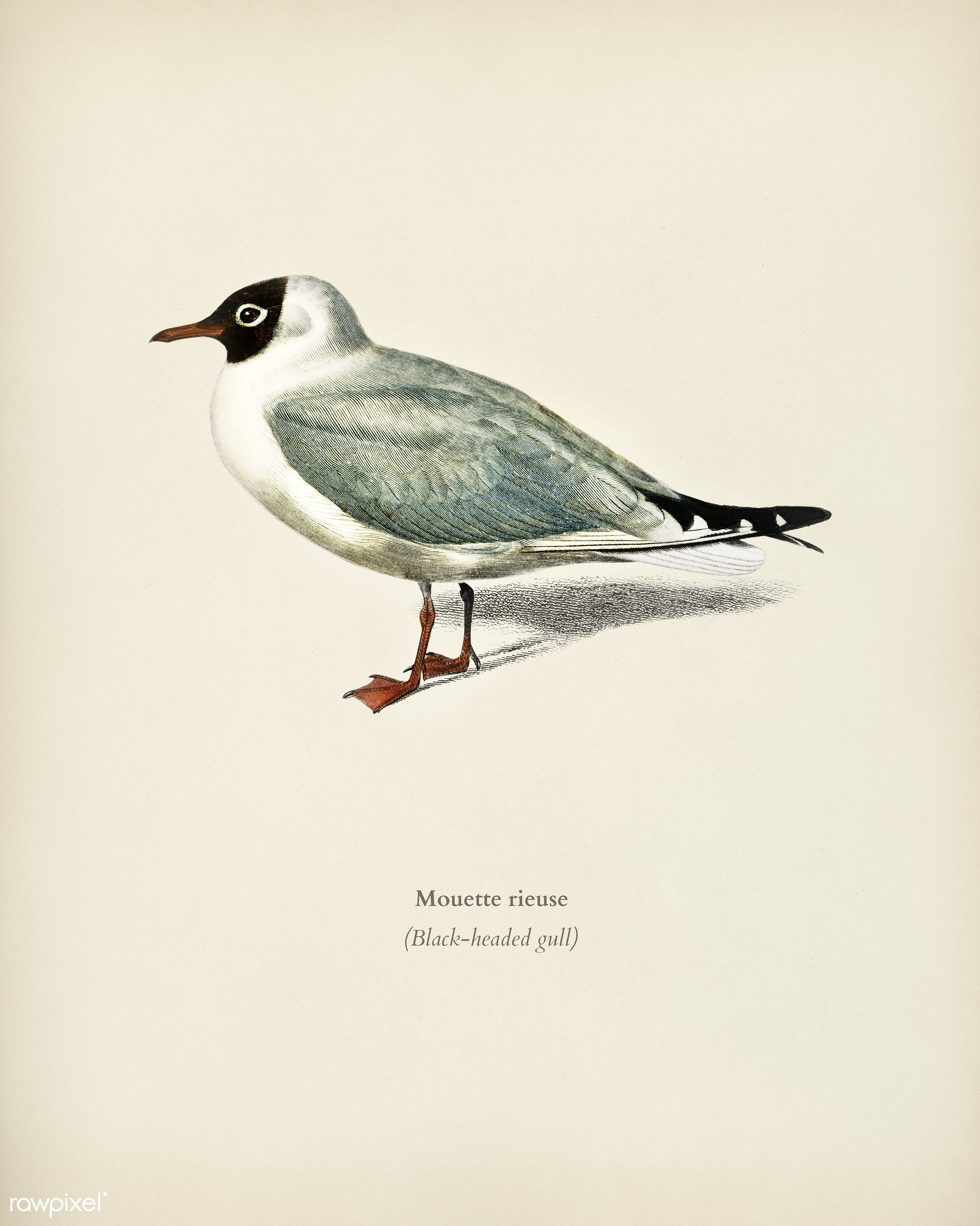 Mouette rieuse illustrated by Charles Dessalines D' Orbigny (1806-1876). Digitally enhanced from our own 1892 edition of...