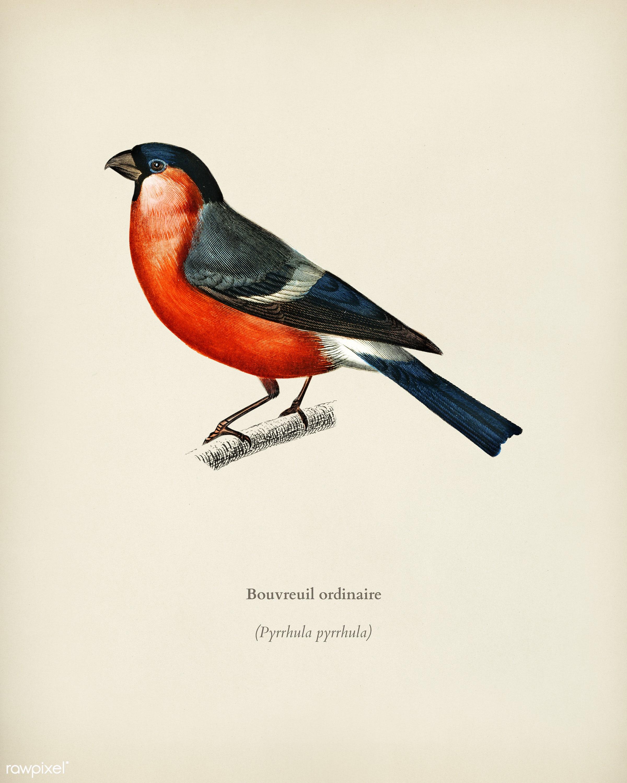 Pyrrhula pyrrhula (Bouvreuil ordinaire) illustrated by Charles Dessalines D' Orbigny (1806-1876). Digitally enhanced...