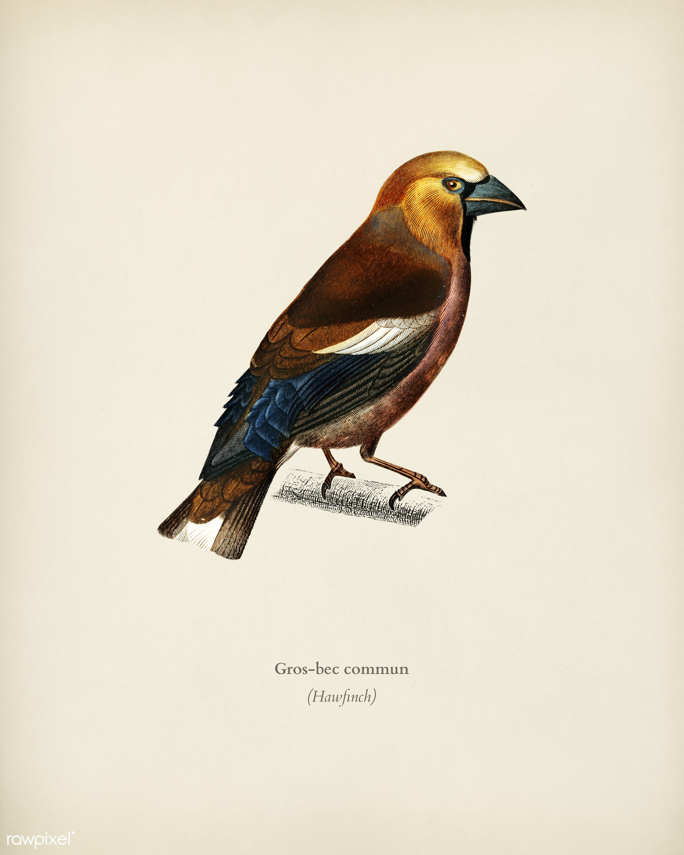 Hawfinch (Gros-bec commun) illustrated by Charles Dessalines D' Orbigny (1806-1876). Digitally enhanced from our own...