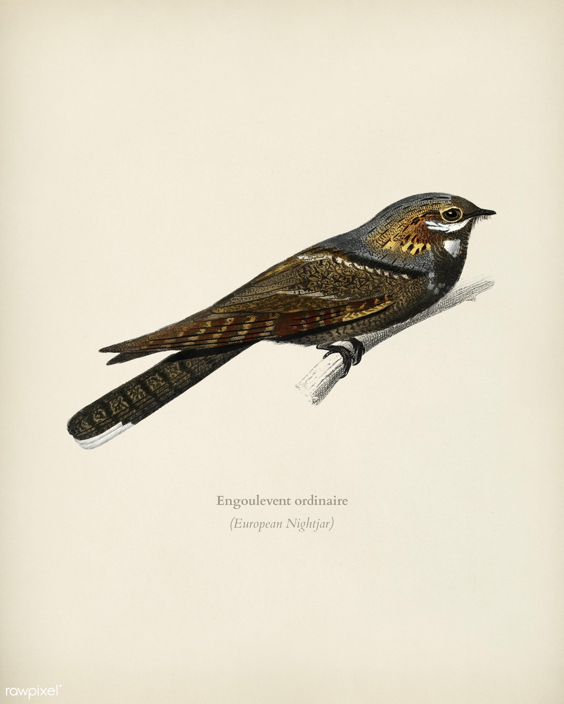 European Nightjar (Engoulevent Ordinaire) illustrated by Charles Dessalines D' Orbigny (1806-1876). Digitally enhanced...