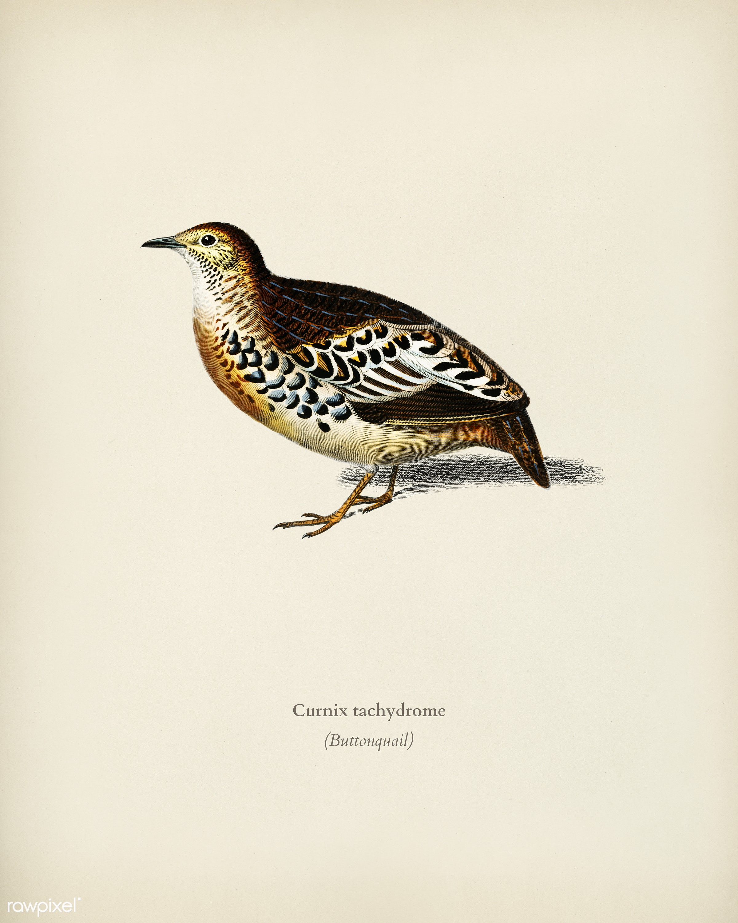 Buttonquail (Curnix tachydrome) illustrated by Charles Dessalines D' Orbigny (1806-1876). Digitally enhanced from our...