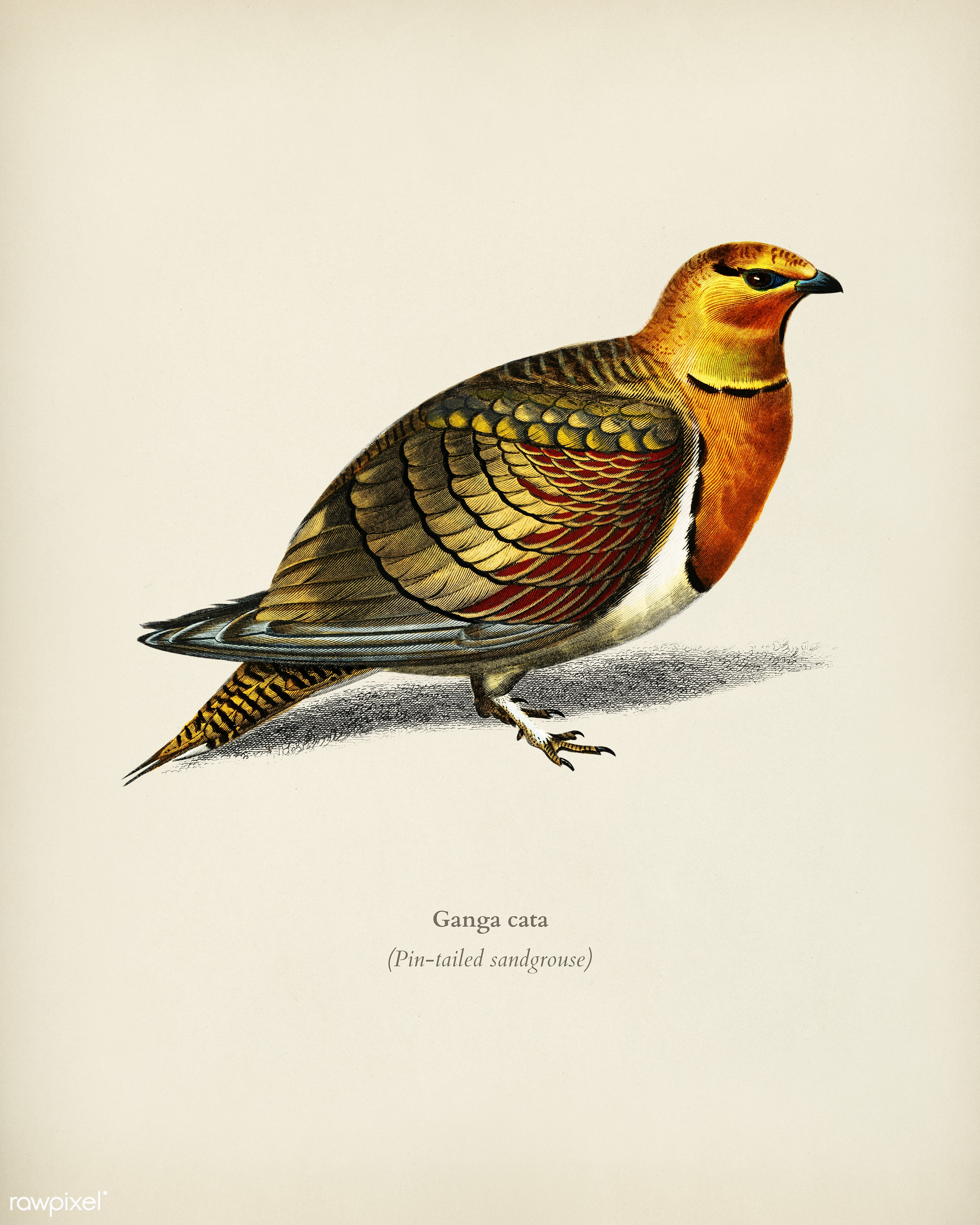Pin-tailed sandgrouse (Ganga cata) illustrated by Charles Dessalines D' Orbigny (1806-1876). Digitally enhanced from our...