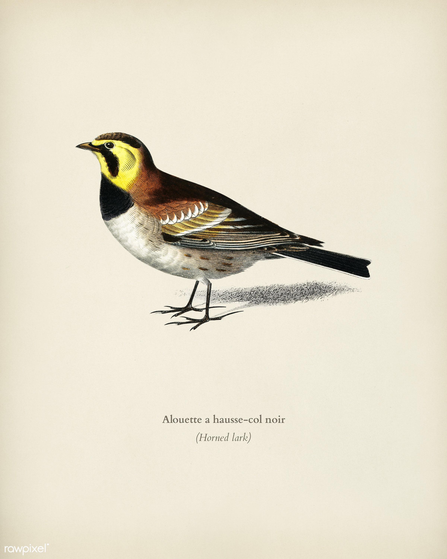 Horned lark (Alouette a hausse-col noir) illustrated by Charles Dessalines D' Orbigny (1806-1876). Digitally enhanced...