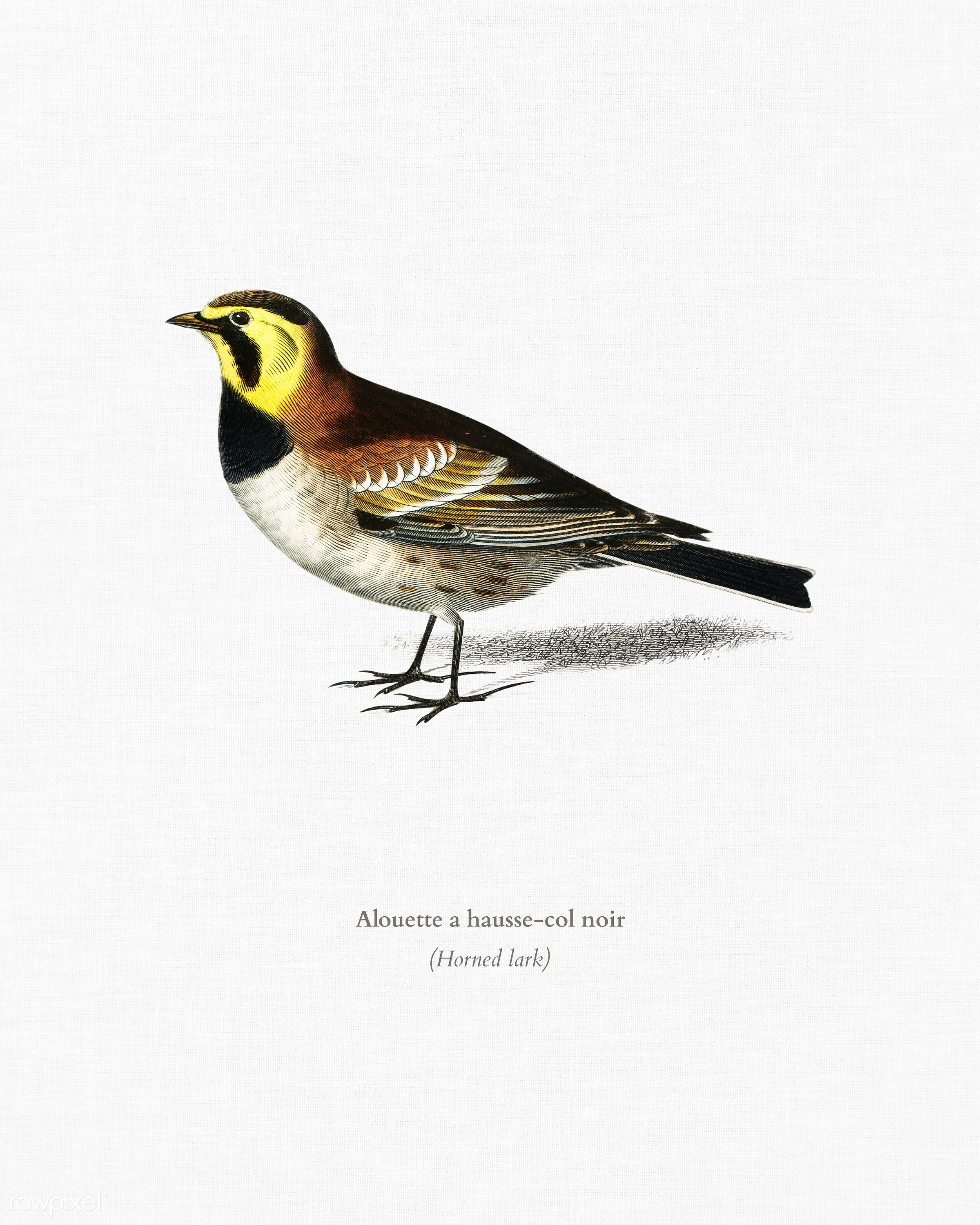 Horned lark (Alouette a hausse-col noir) illustrated by Charles Dessalines D' Orbigny (1806-1876). Digitally enhanced...