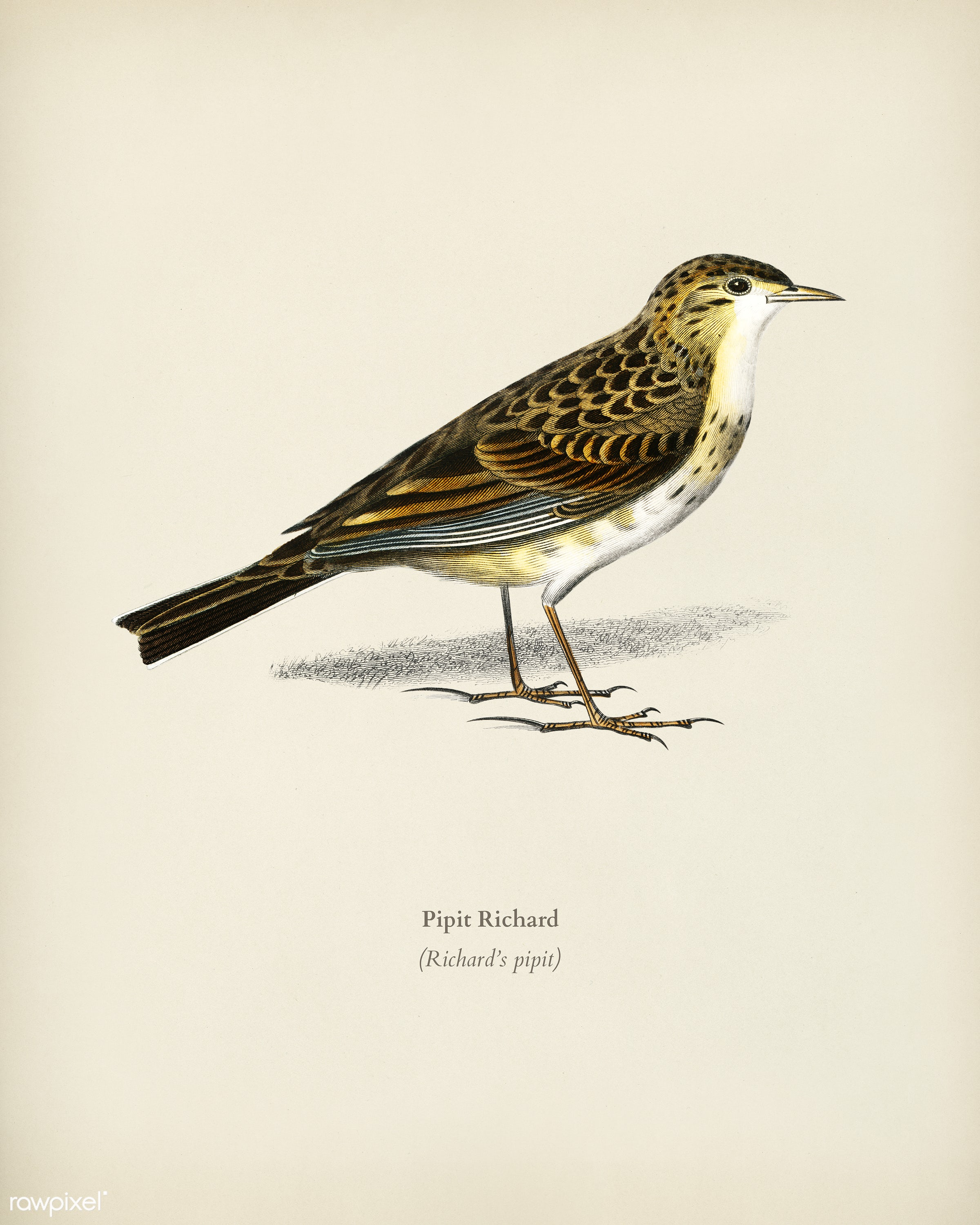 Richard 's pipit (Pipit Richard) illustrated by Charles Dessalines D' Orbigny (1806-1876). Digitally enhanced from...