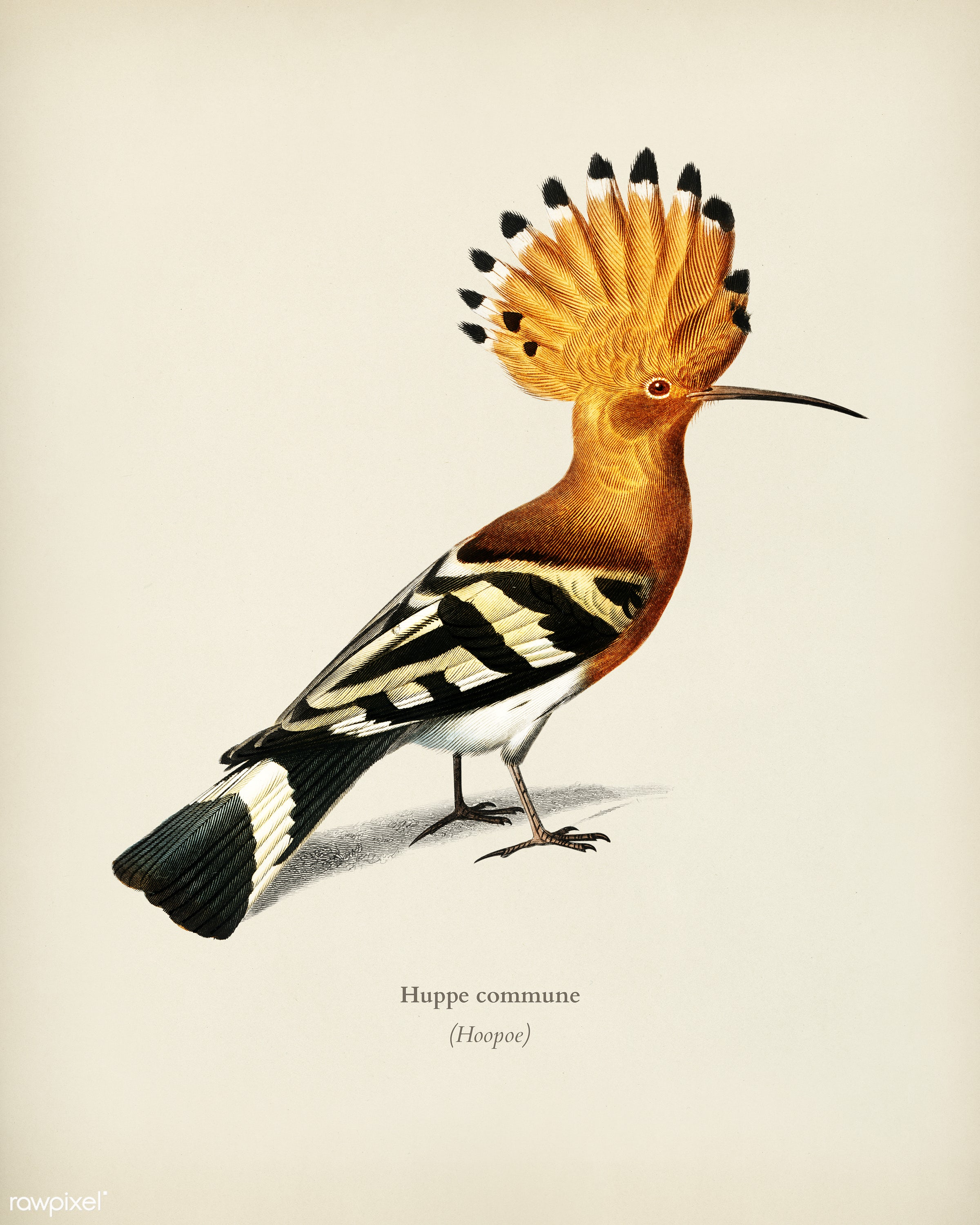 Huppe commune (Hoopoe) illustrated by Charles Dessalines D' Orbigny (1806-1876). Digitally enhanced from our own 1892...