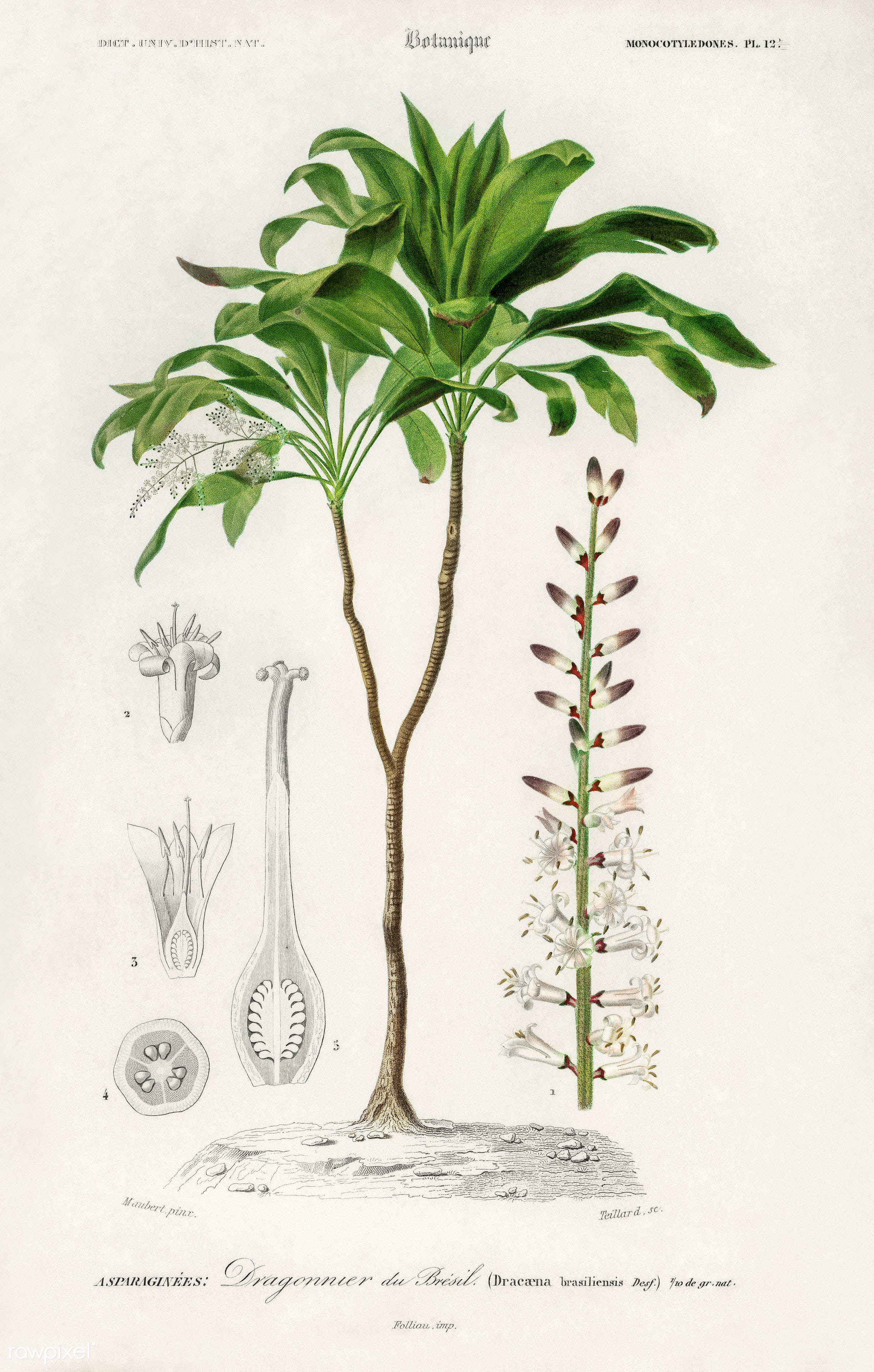Dracaena brasiliensis illustrated by Charles Dessalines D' Orbigny (1806-1876). Digitally enhanced from our own 1892...