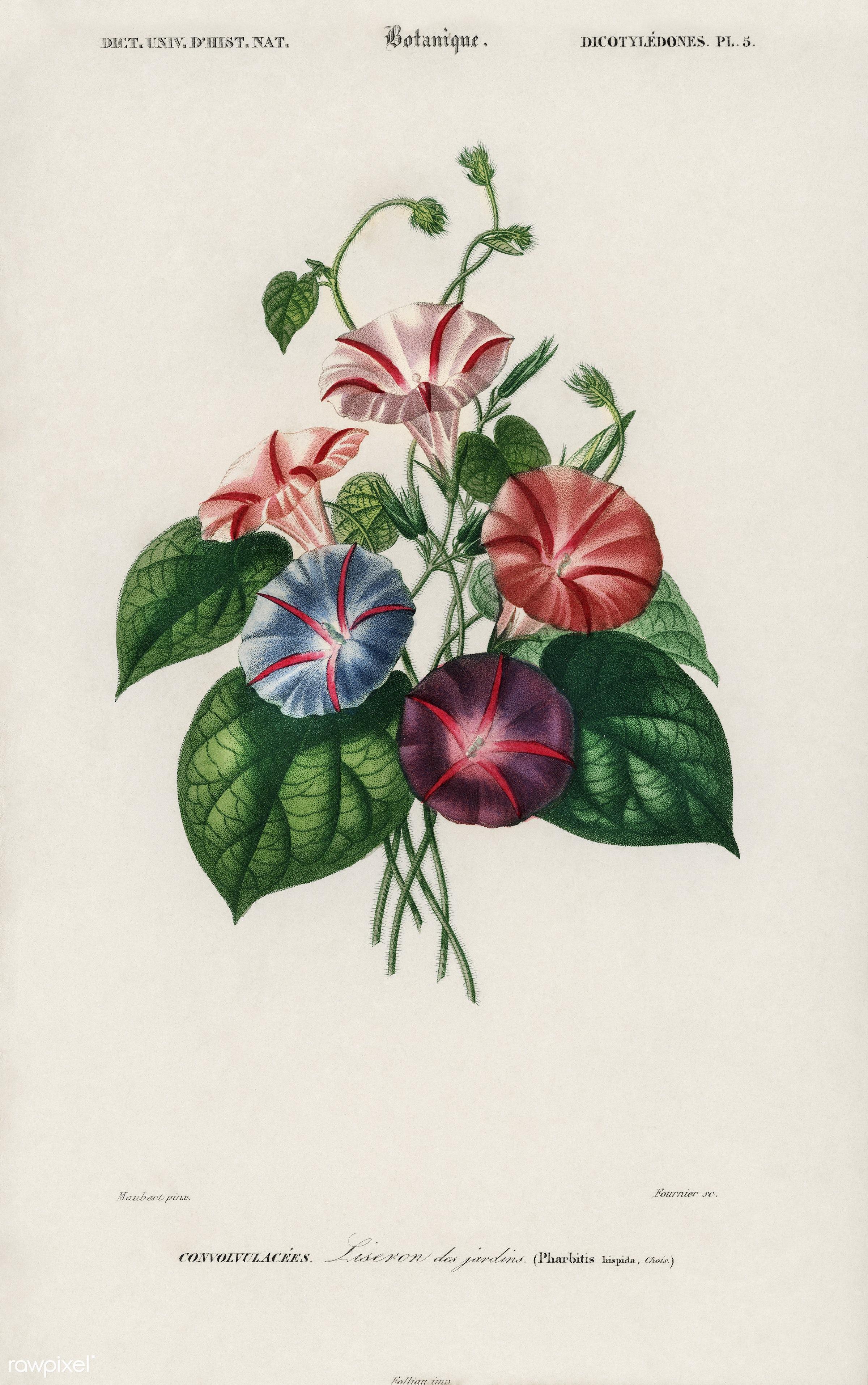 Morning-glory (Pharbitis hispida) illustrated by Charles Dessalines D' Orbigny (1806-1876), Digitally enhanced from our...
