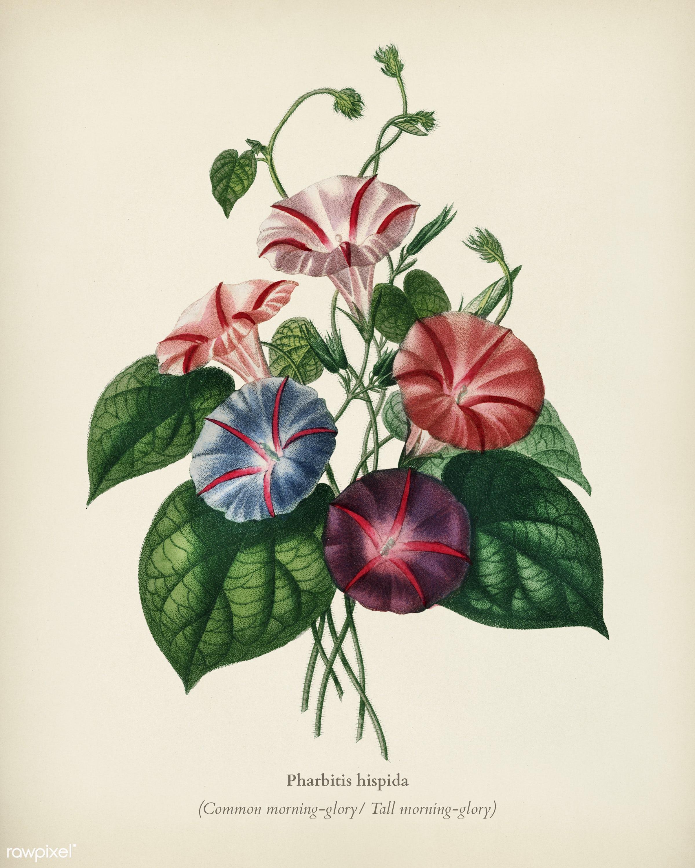 Morning-glory (Pharbitis hispida) illustrated by Charles Dessalines D' Orbigny (1806-1876). Digitally enhanced from our...