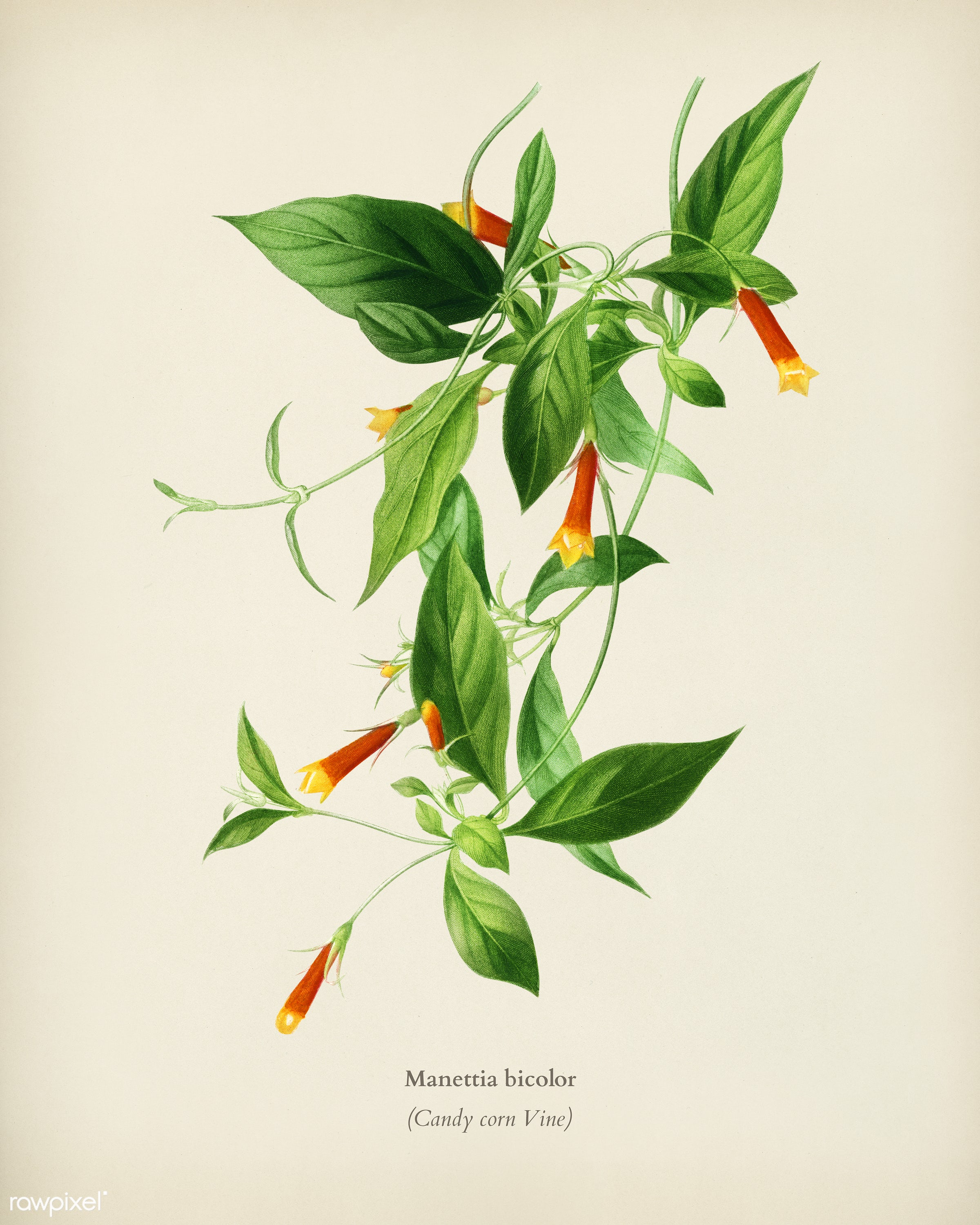 Candy corn Vine (Manettia bicolor) illustrated by Charles Dessalines D' Orbigny (1806-1876). Digitally enhanced from our...