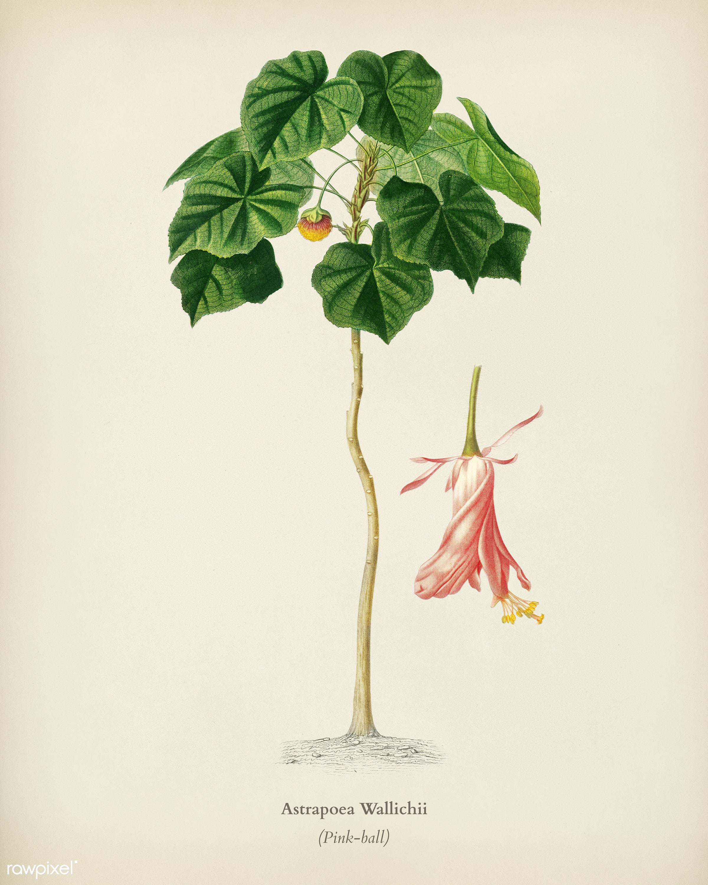 Astrapoea Wallichii illustrated by Charles Dessalines D' Orbigny (1806-1876). Digitally enhanced from our own 1892...