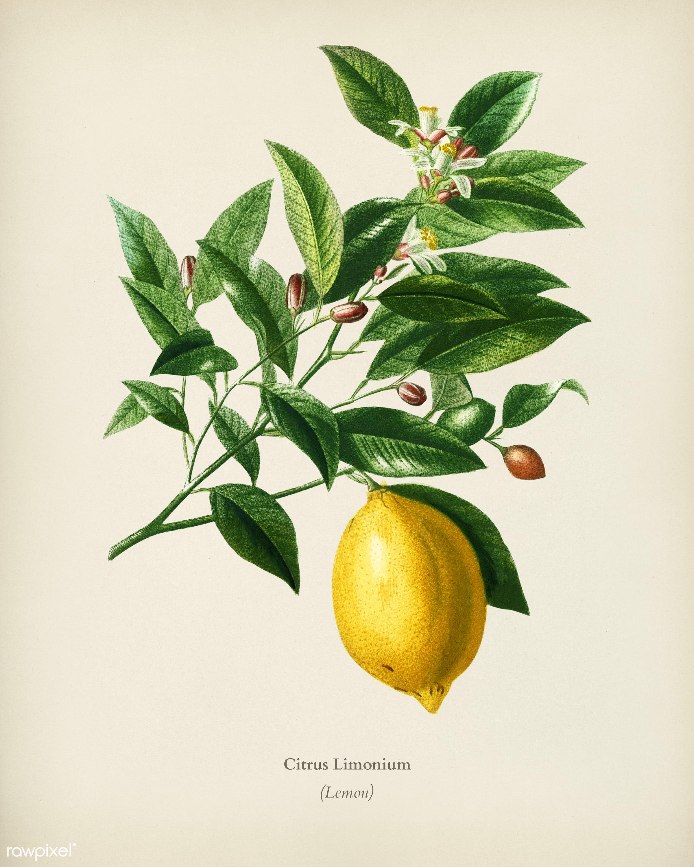 Lemon (Citrus Limonium) illustrated by Charles Dessalines D' Orbigny (1806-1876). Digitally enhanced from our own 1892...