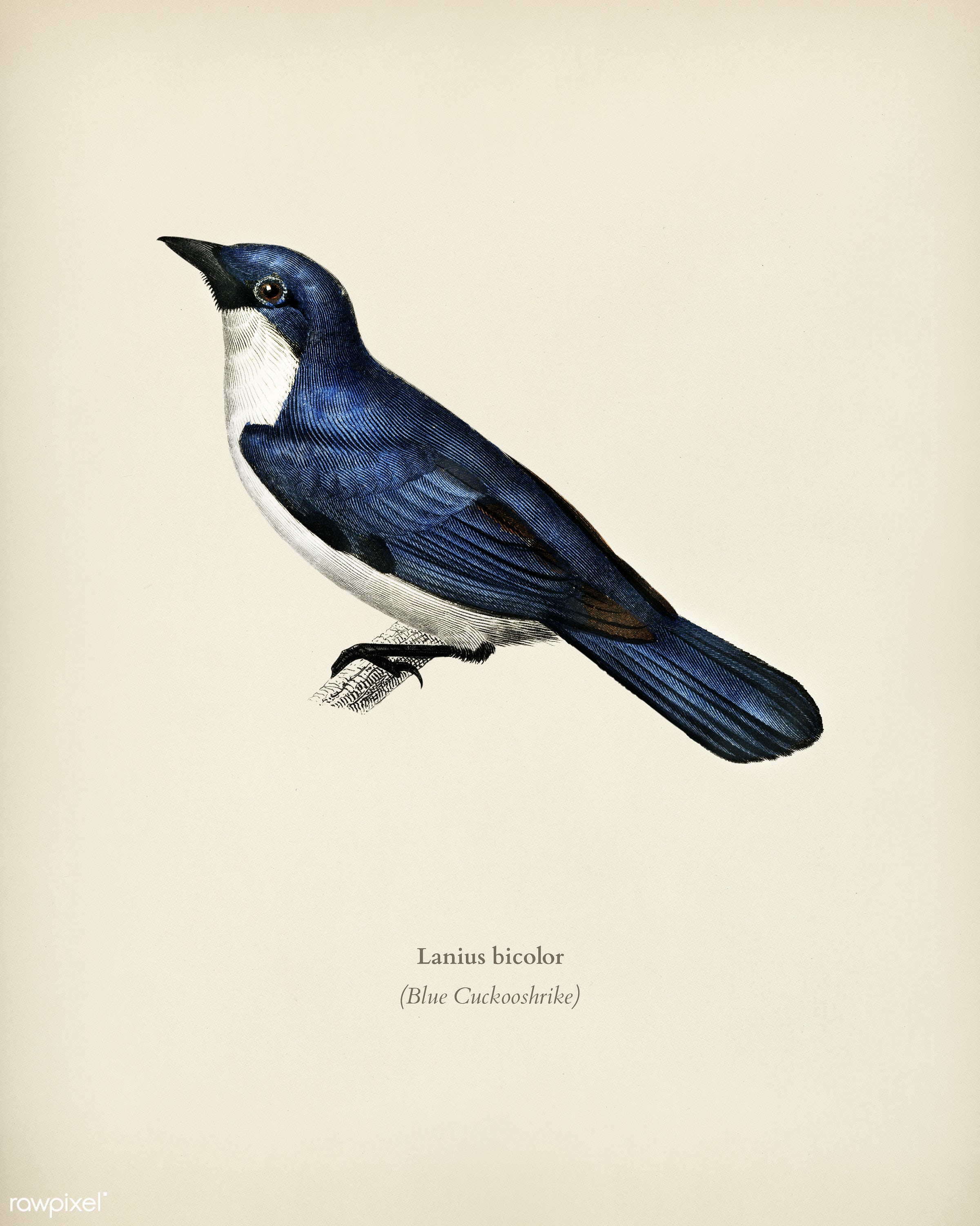 Lanius bicolor illustrated by Charles Dessalines D' Orbigny (1806-1876). Digitally enhanced from our own 1892 edition of...