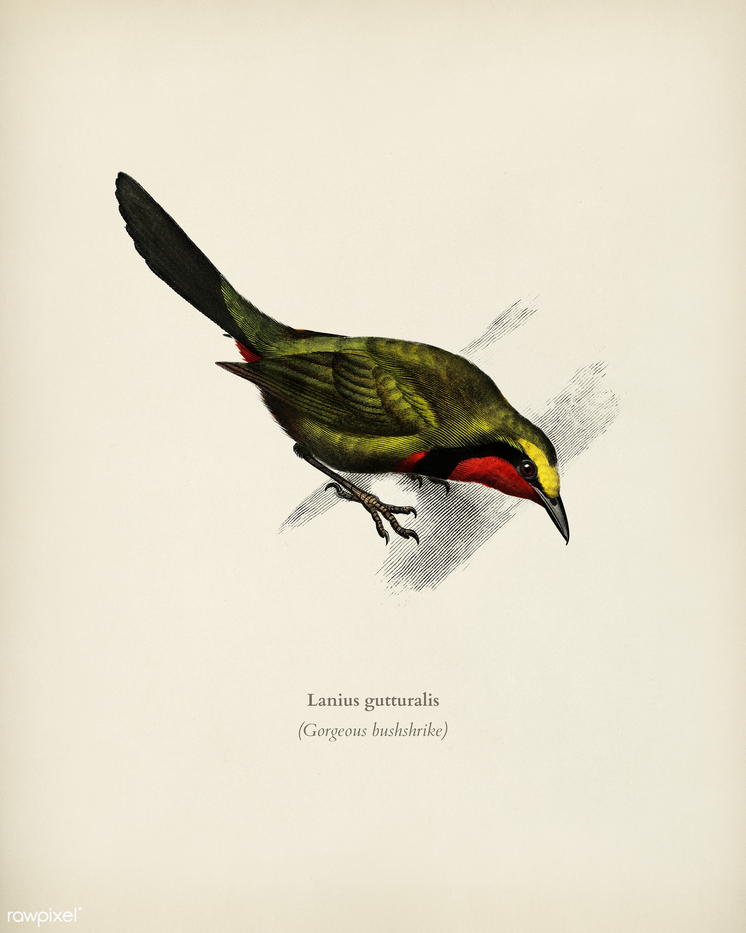 Lanius gutturalis illustrated by Charles Dessalines D' Orbigny (1806-1876). Digitally enhanced from our own 1892 edition...