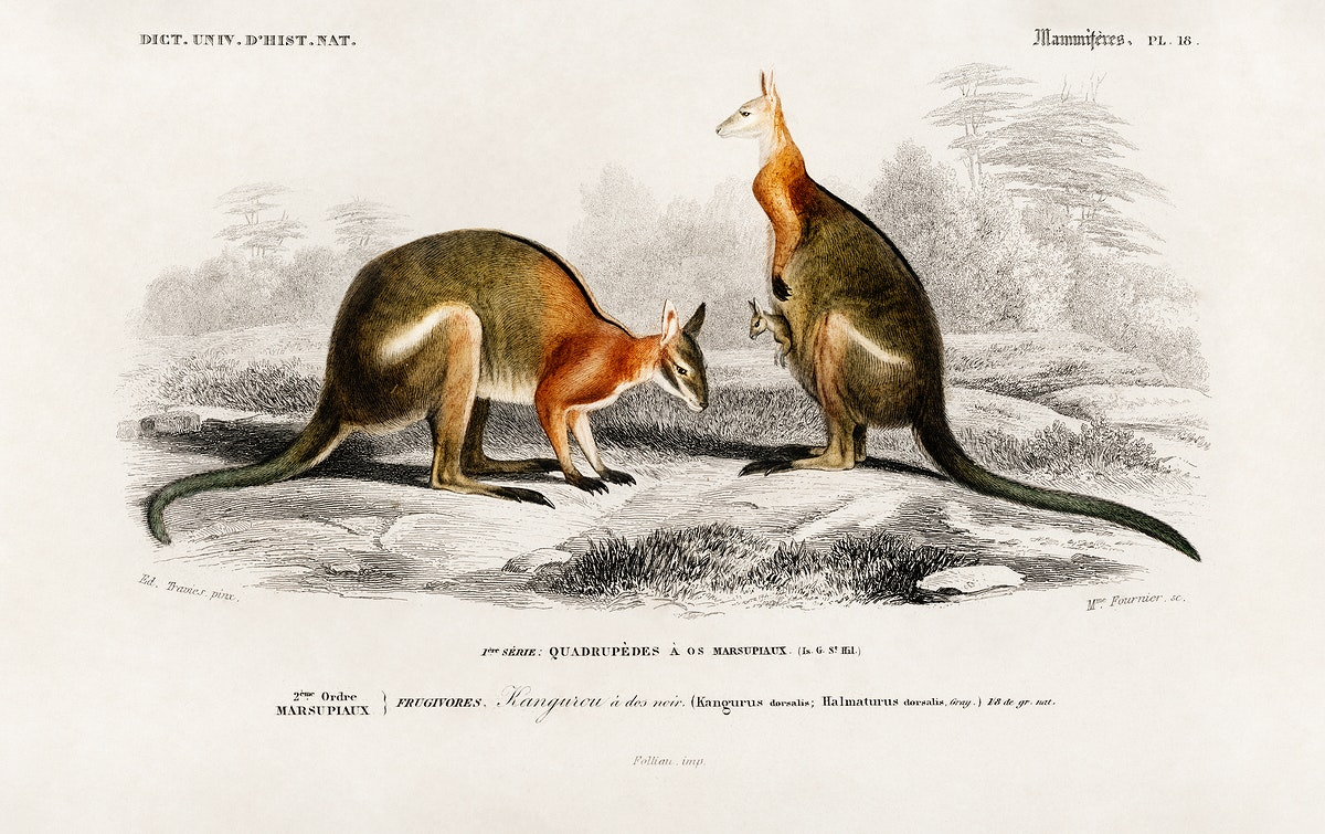 Macropus illustrated by Charles Dessalines D' Orbigny (1806-1876). Digitally enhanced from our own 1892 edition of…