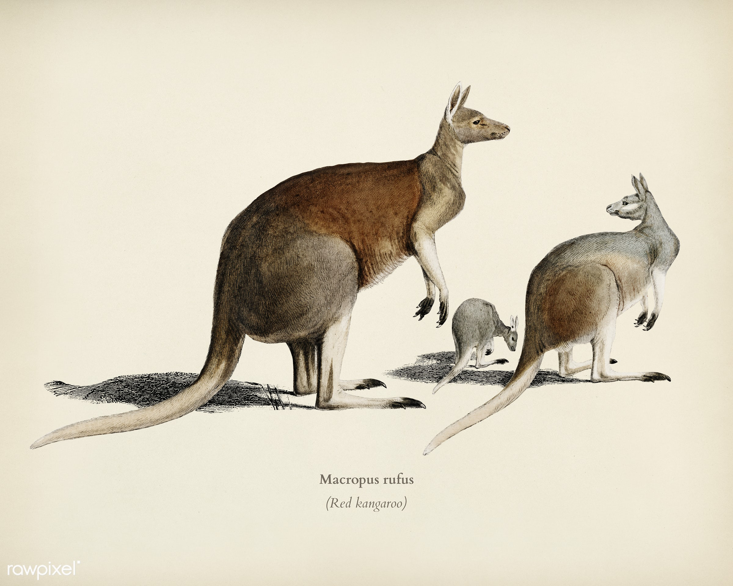 The red kangaroo (Macropus rufus) illustrated by Charles Dessalines D' Orbigny (1806-1876). Digitally enhanced from our...