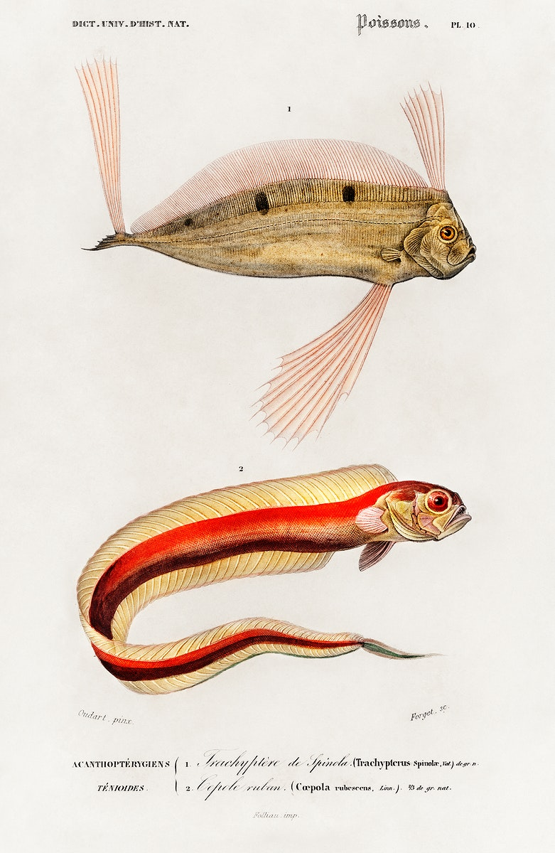 Different types of fishes illustrated by Charles Dessalines D' Orbigny (1806-1876) Digitally enhanced from our own 1892…