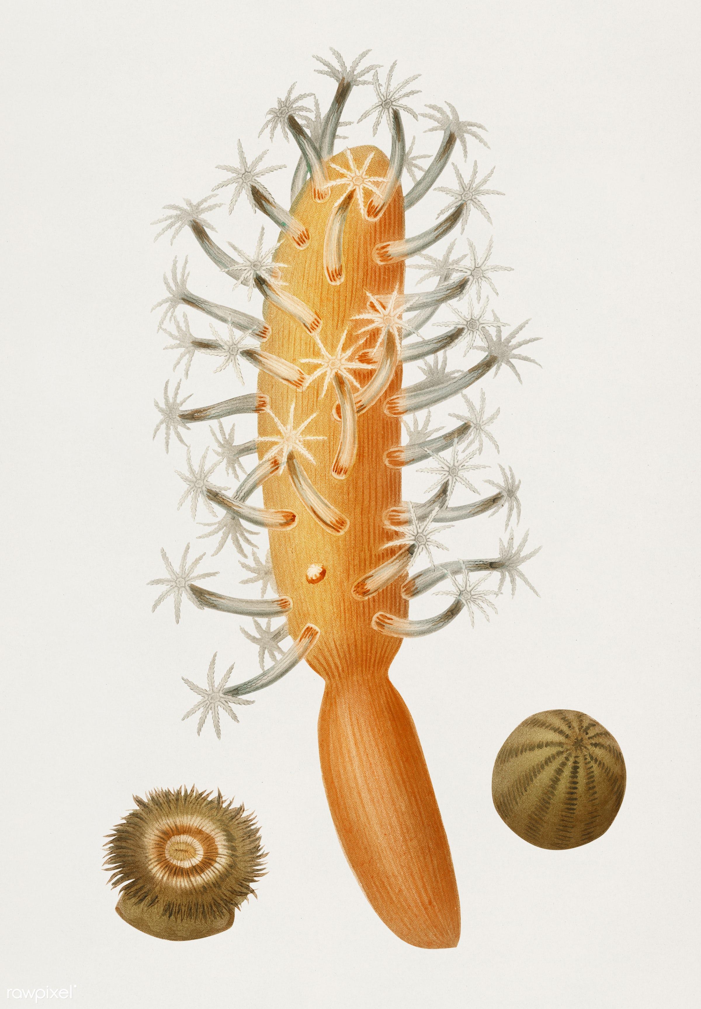 Veretillum cynomorium, sea carrot, Actinia effoeta, sea anemone illustrated by Charles Dessalines D' Orbigny (1806-1876...
