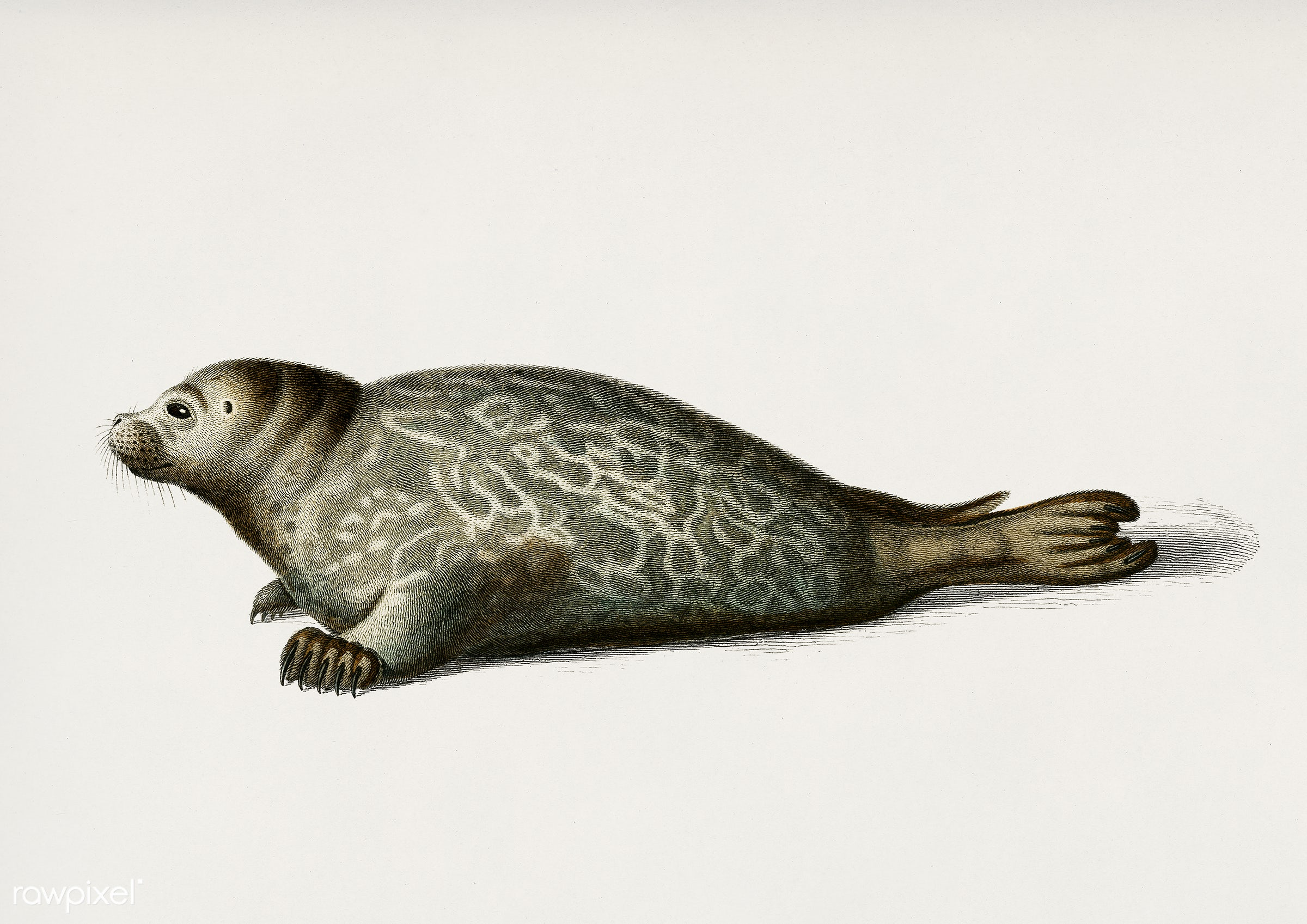 Phoca illustrated by Charles Dessalines D' Orbigny (1806-1876). Digitally enhanced from our own 1892 edition of...