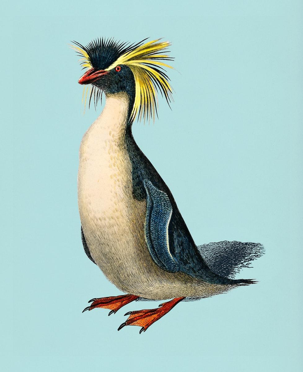 Vintage Illustration of Rockhopper penguin.