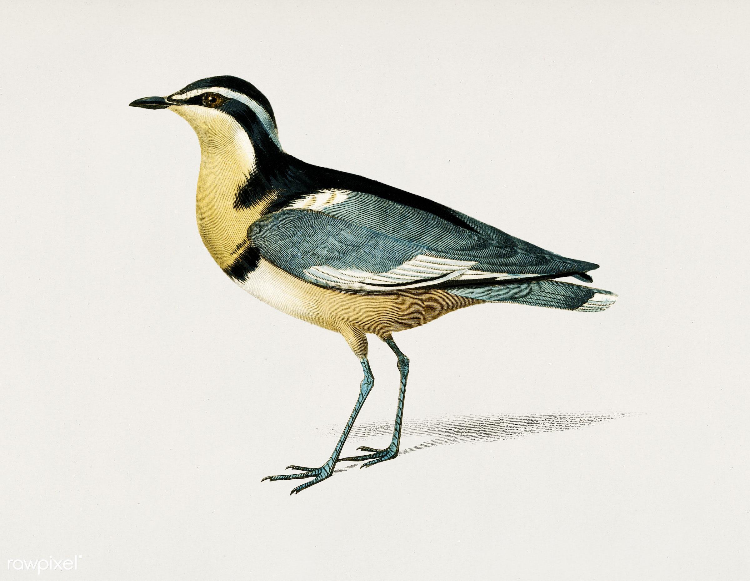 Egyptian plover (Pluvianus Melanocephalus) illustrated by Charles Dessalines D' Orbigny (1806-1876). Digitally enhanced...