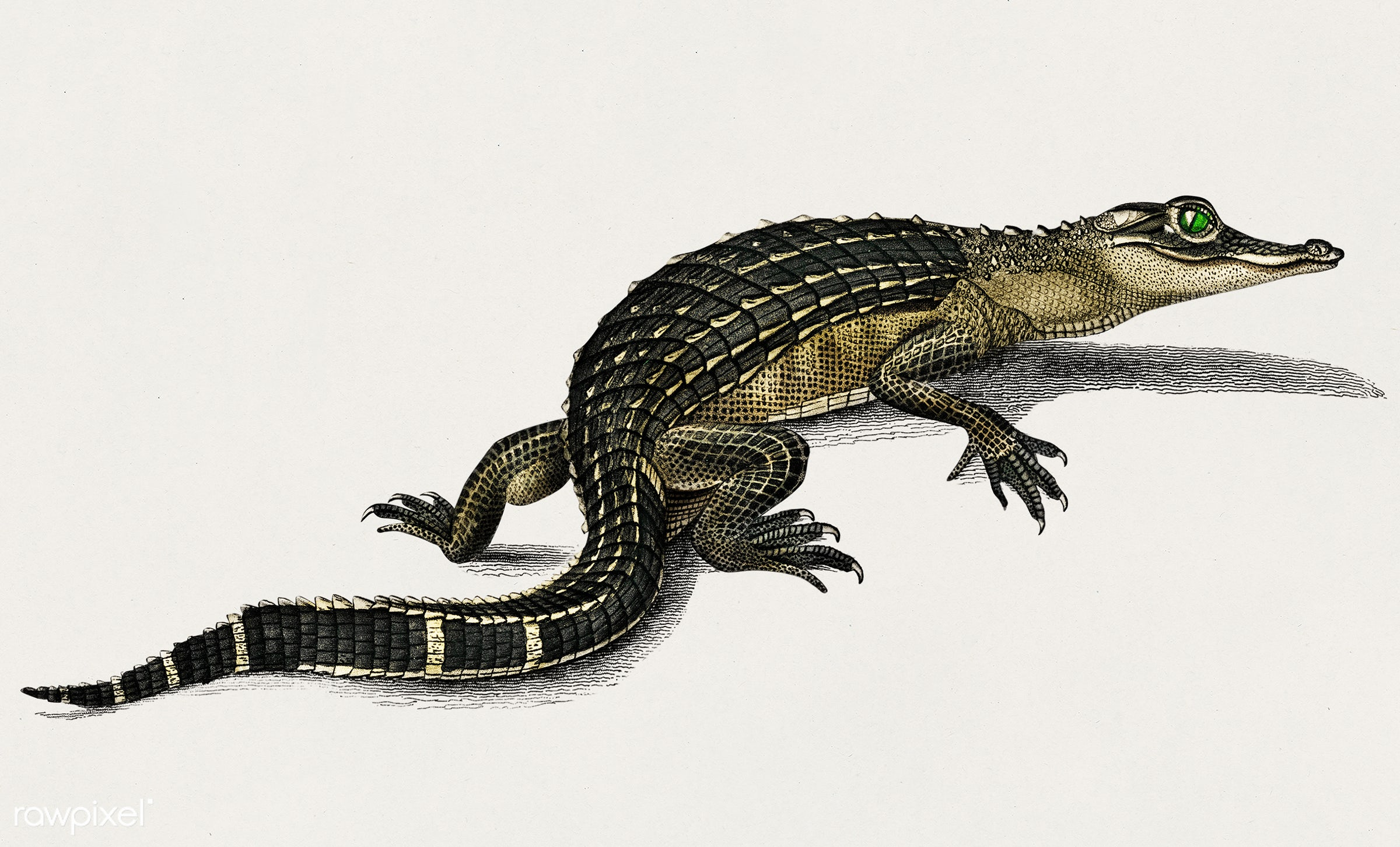 Alligator (Alligator incius) illustrated by Charles Dessalines D' Orbigny (1806-1876). Digitally enhanced from our own...