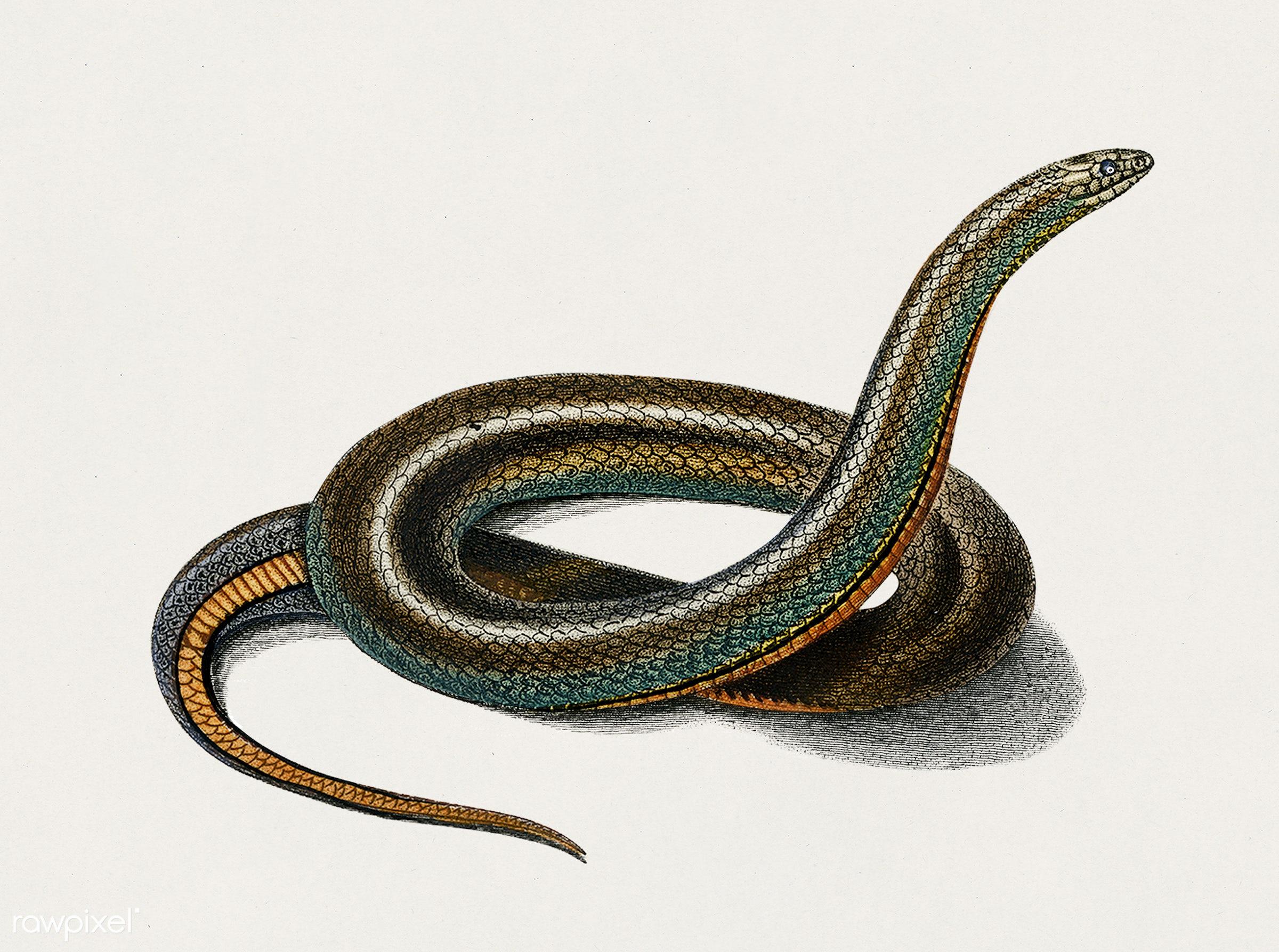 Slug Eater (Homalosoma arctiventris) by Charles Dessalines D' Orbigny (1806-1876). Digitally enhanced from our own 1892...