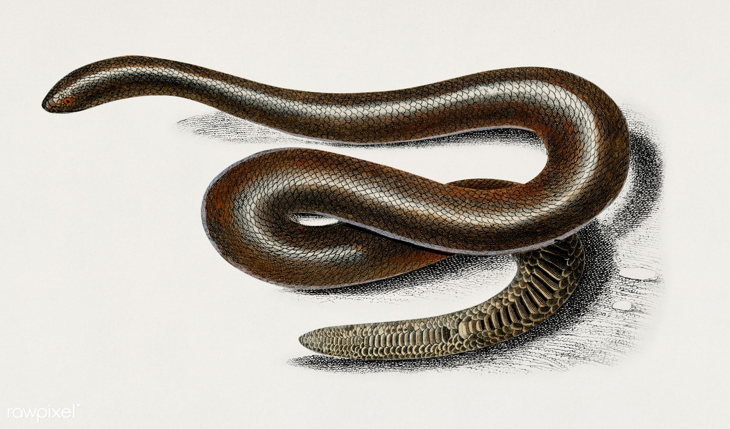 Eryx (Eryx Duvaucelii) illustrated by Charles Dessalines D' Orbigny (1806-1876). Digitally enhanced from our own 1892...