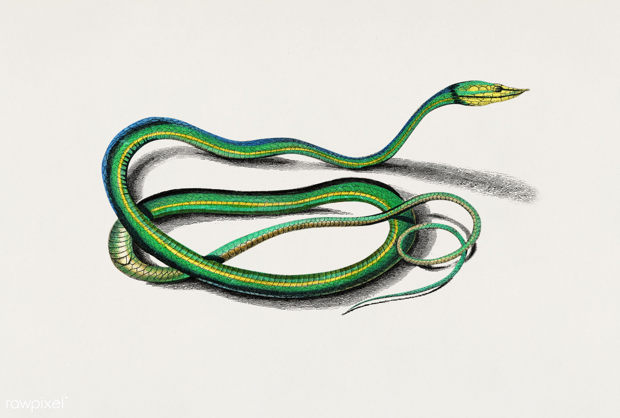 The green vine snake (Dryinus Nasutus) illustrated by Charles Dessalines D' Orbigny (1806-1876). Digitally enhanced from...