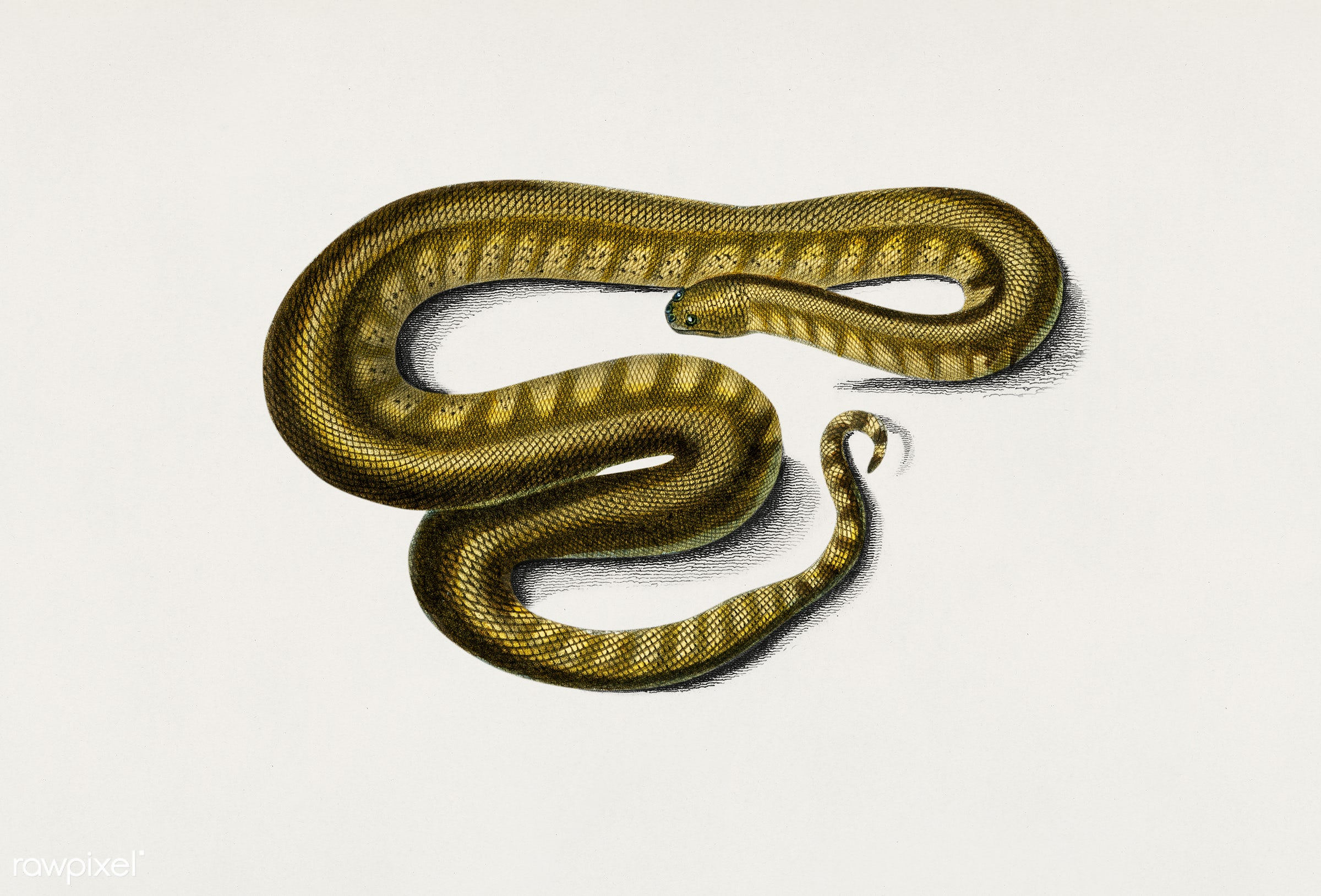 Elephant trunk snake (Acrochordus Javanicus) illustrated by Charles Dessalines D' Orbigny (1806-1876). Digitally...
