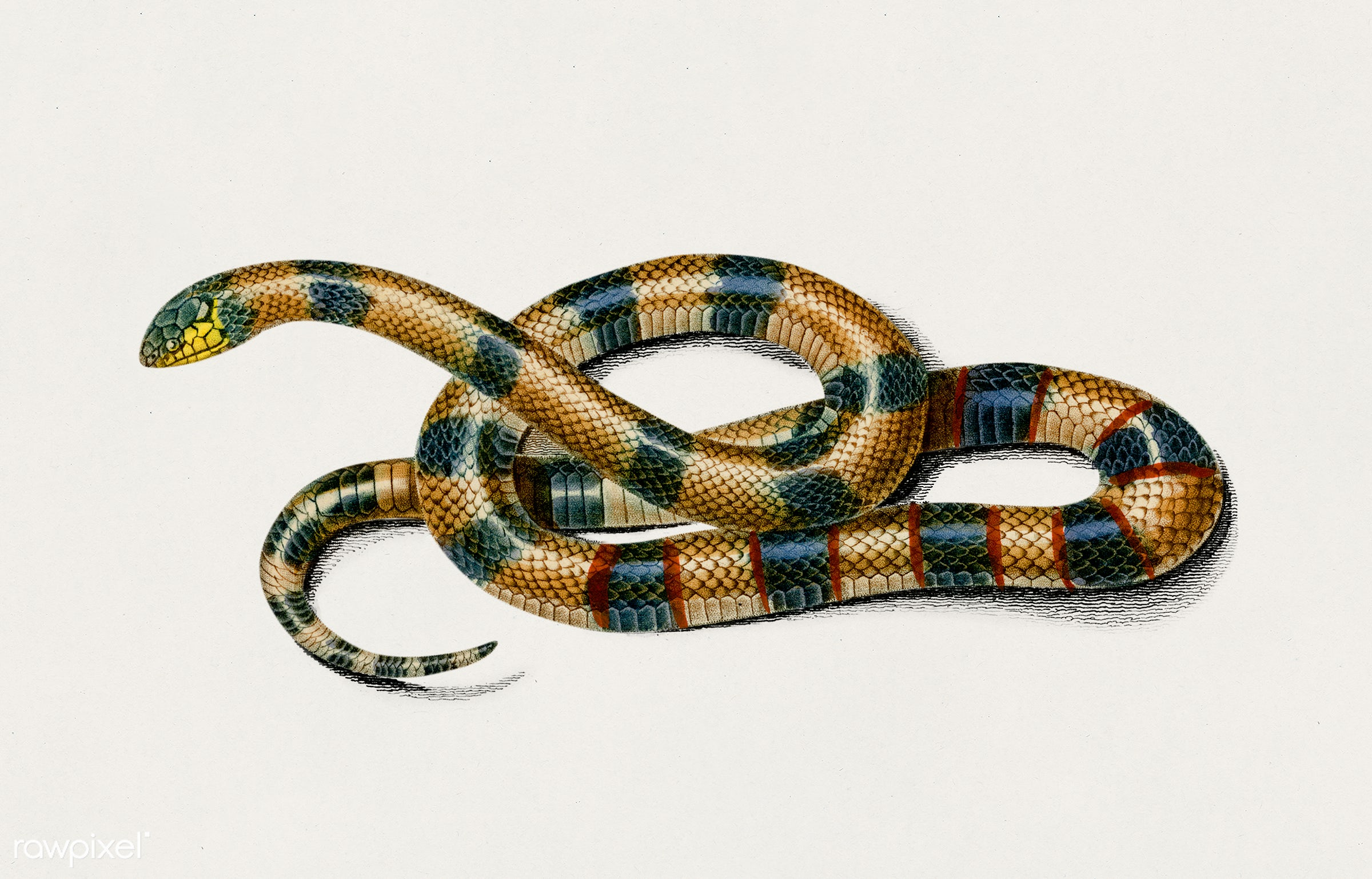 Coral Snake (Elaps Corallinus) illustrated by Charles Dessalines D' Orbigny (1806-1876). Digitally enhanced from our own...