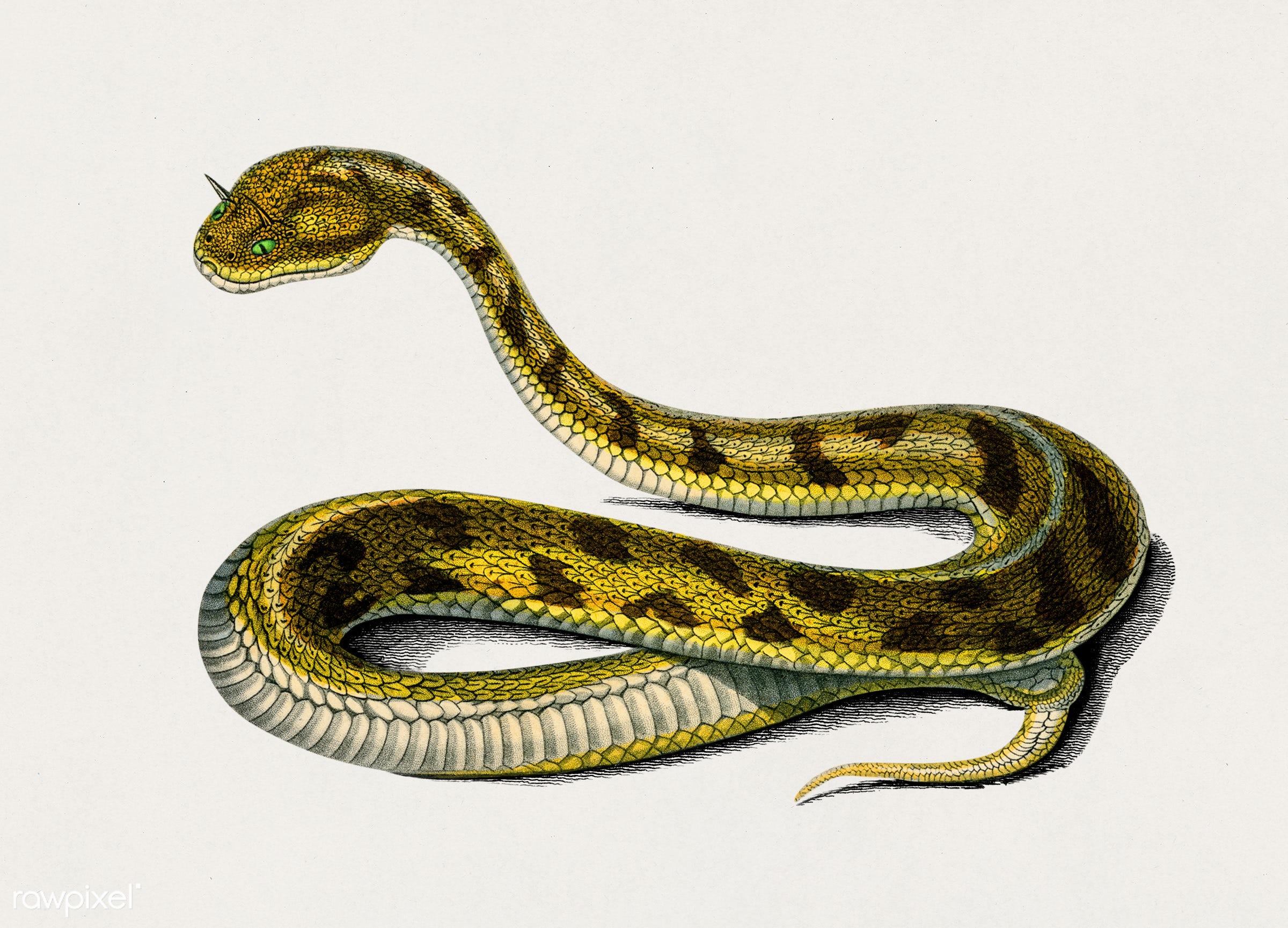 Saharan horned Viper (Cerastes) illustrated by Charles Dessalines D' Orbigny (1806-1876). Digitally enhanced from our...