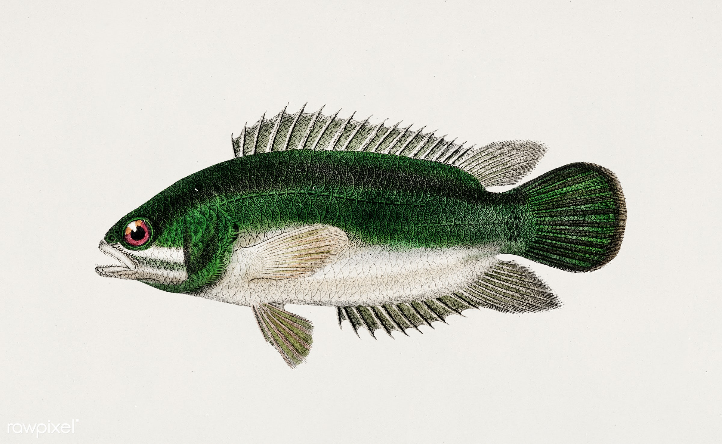 Climbing perch (Anabas testudineus) illustrated by Charles Dessalines D' Orbigny (1806-1876). Digitally enhanced from...