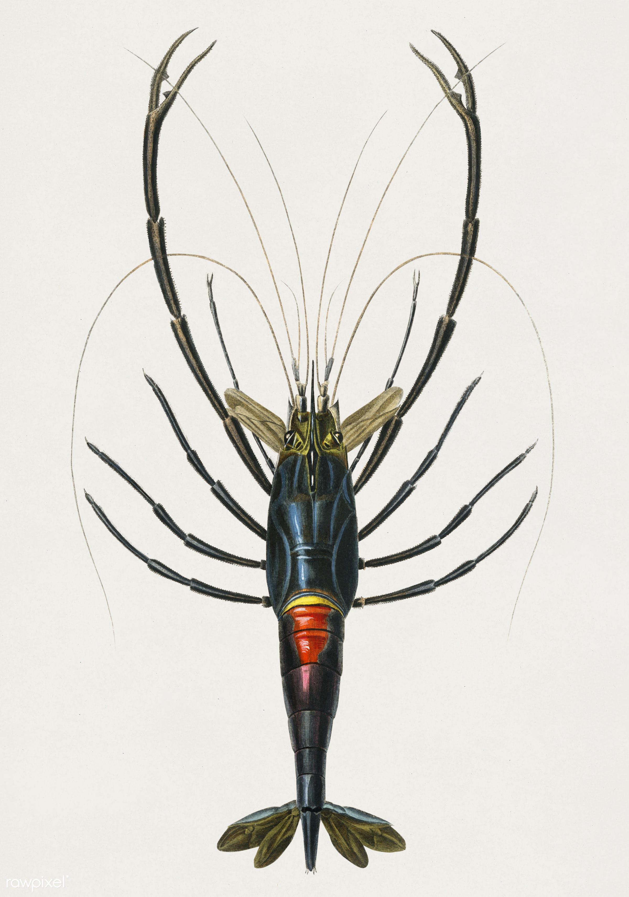 Crimson Crawfish (Palemon Ornatum) illustrated by Charles Dessalines D' Orbigny (1806-1876). Digitally enhanced from our...