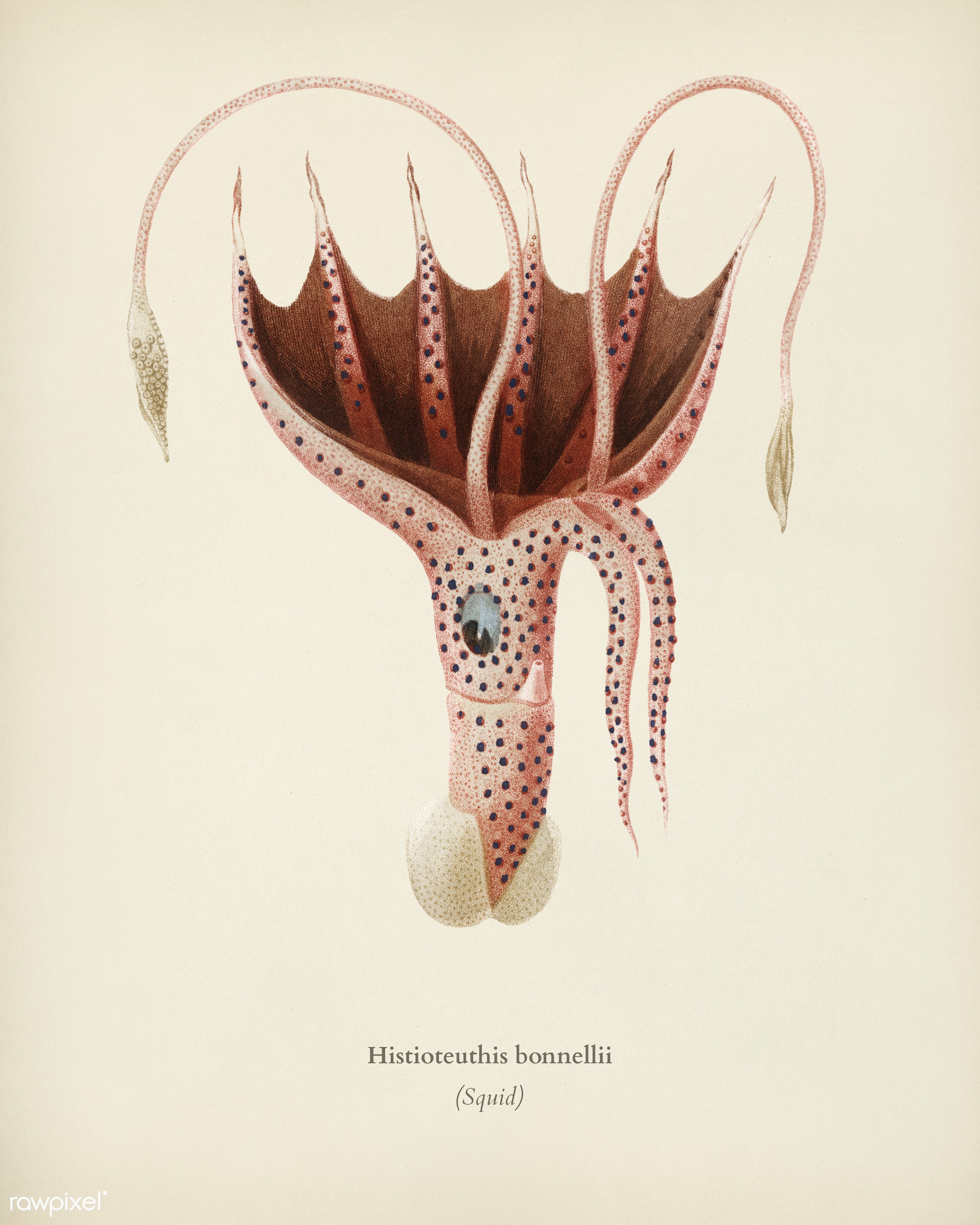 The umbrella squid (Histioteuthis bonnellii) illustrated by Charles Dessalines D' Orbigny (1806-1876). Digitally...