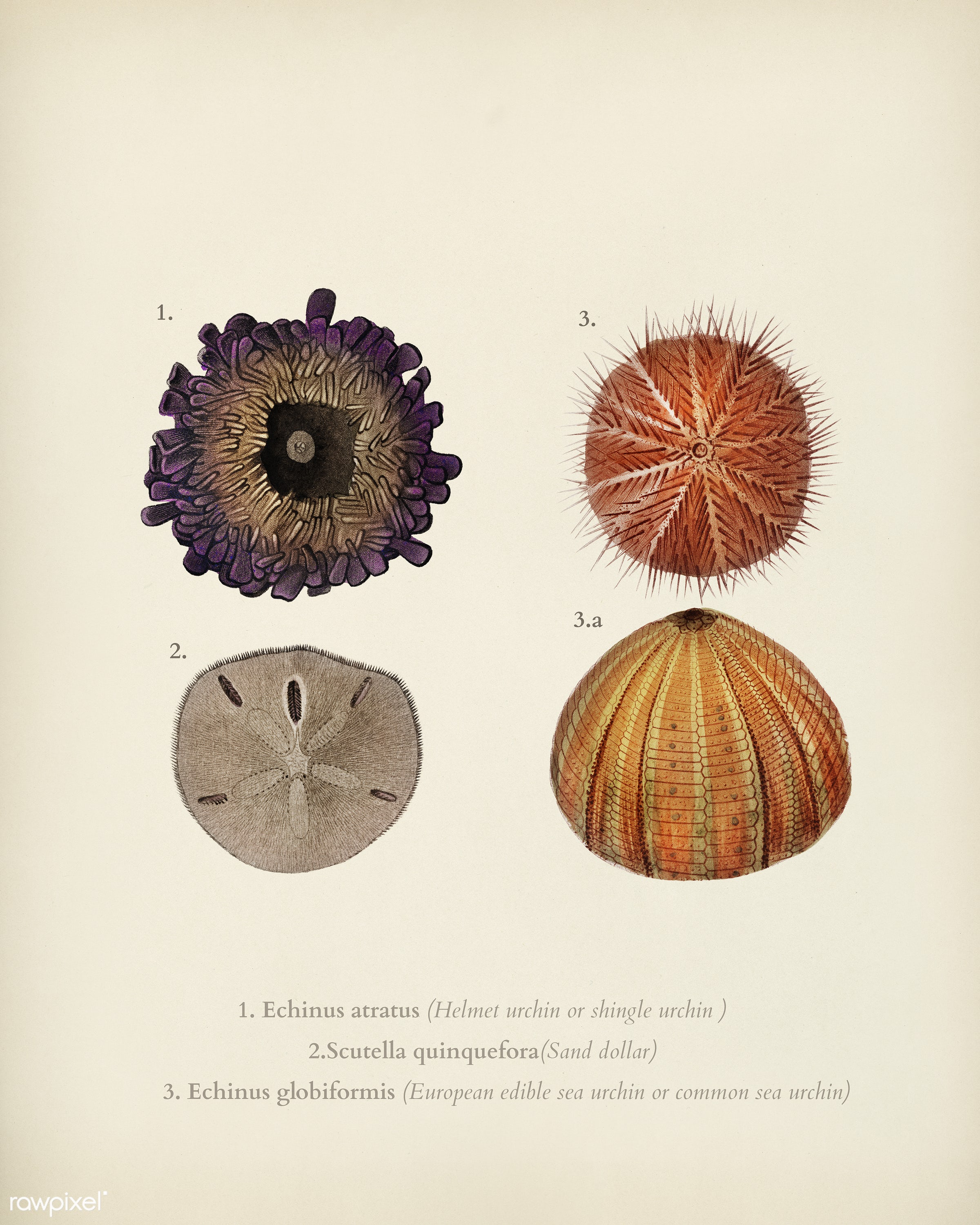 Different types of sea urcnhins illustrated by Charles Dessalines D' Orbigny (1806-1876). Digitally enhanced from our...