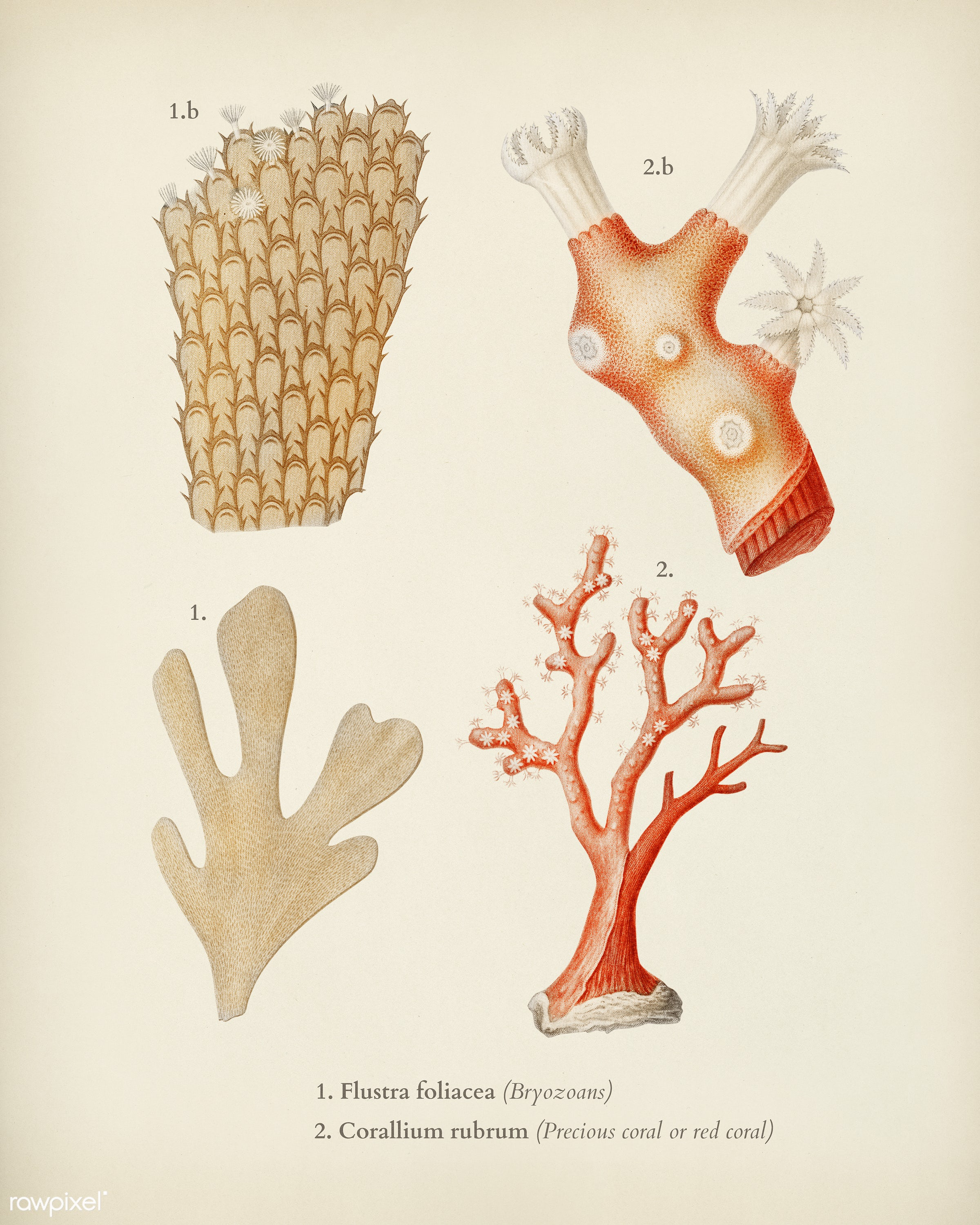 Different types of corals illustrated by Charles Dessalines D' Orbigny (1806-1876). Digitally enhanced from our own 1892...