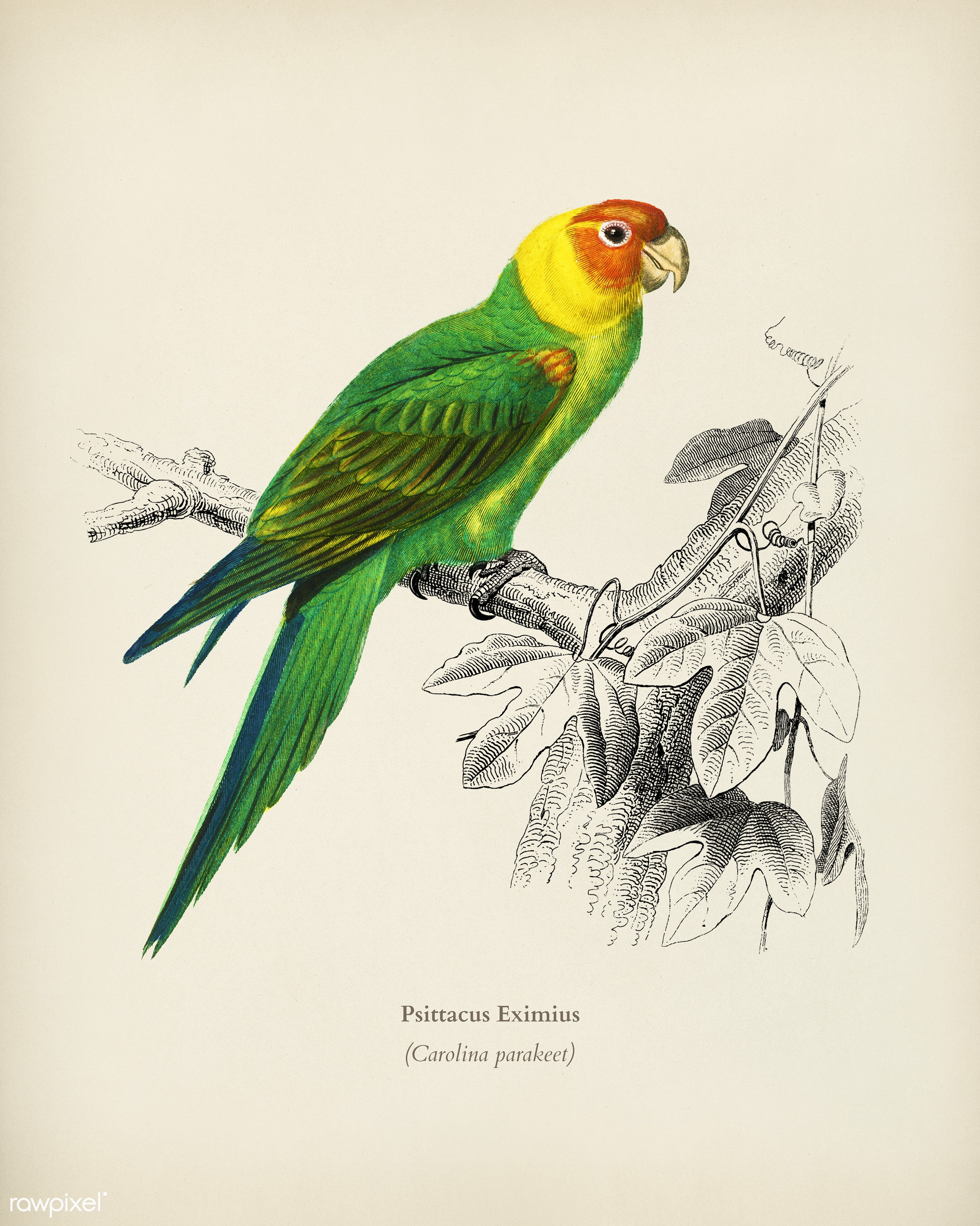 Psittacus Eximius illustrated by Charles Dessalines D' Orbigny (1806-1876). Digitally enhanced from our own 1892 edition...