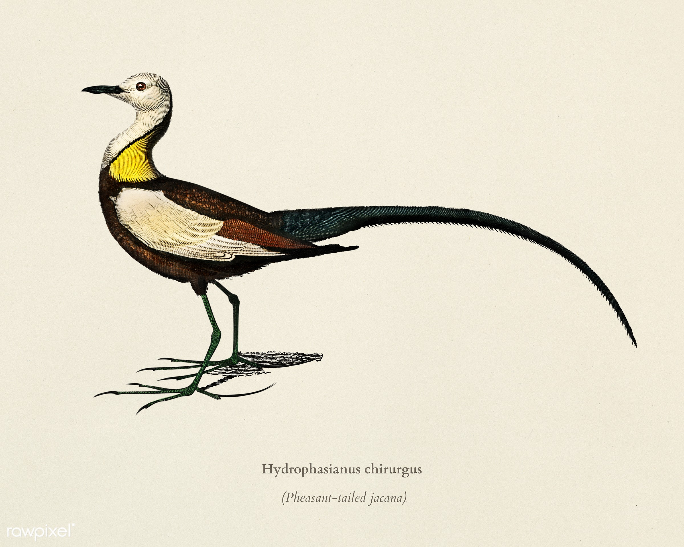 Pheasant-tailed jacana (Hydrophasianus chirurgus) illustrated by Charles Dessalines D' Orbigny (1806-1876). Digitally...