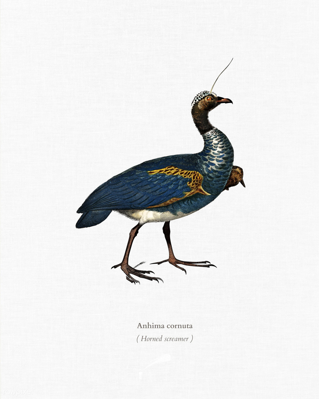 Horned screamer (Anhima cornuta) illustrated by Charles Dessalines D' Orbigny (1806-1876). Digitally enhanced from our...