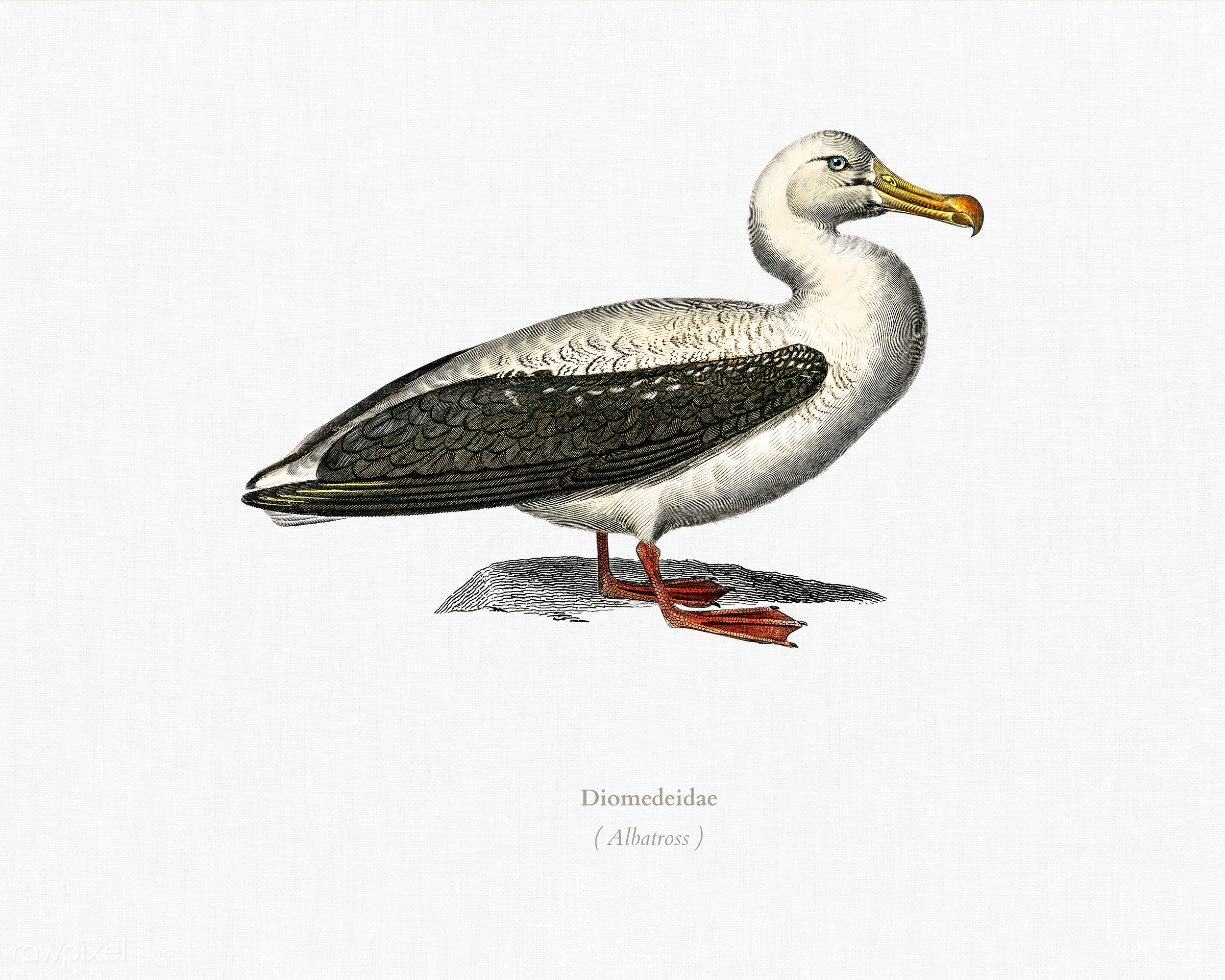 Albatross (Diomedeidae) illustrated by Charles Dessalines D' Orbigny (1806-1876). Digitally enhanced from our own 1892...