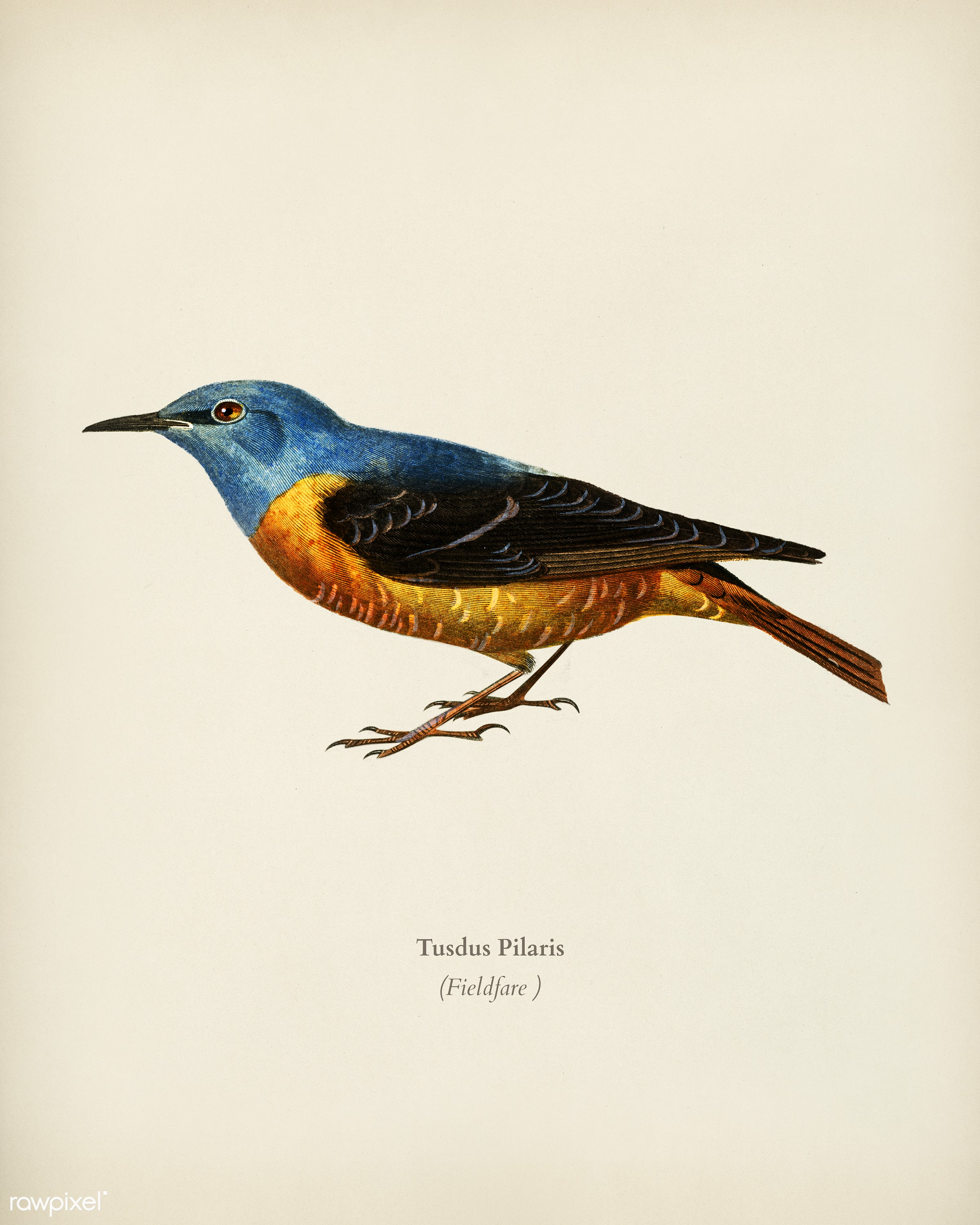 Fieldfare (Tusdus Pilaris) illustrated by Charles Dessalines D' Orbigny (1806-1876). Digitally enhanced from our own...