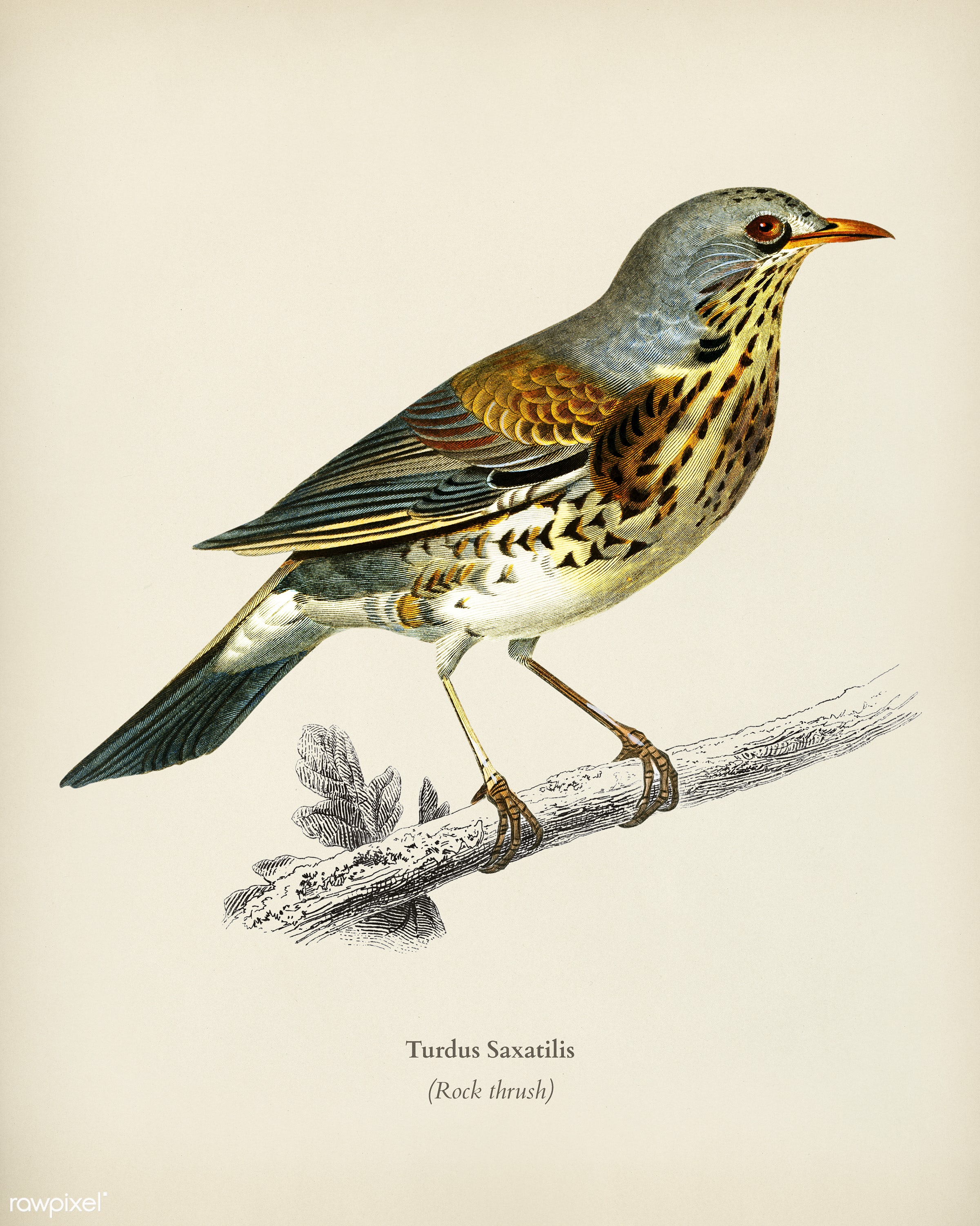Rock thrush (Turdus Saxatilis) illustrated by Charles Dessalines D' Orbigny (1806-1876). Digitally enhanced from our own...