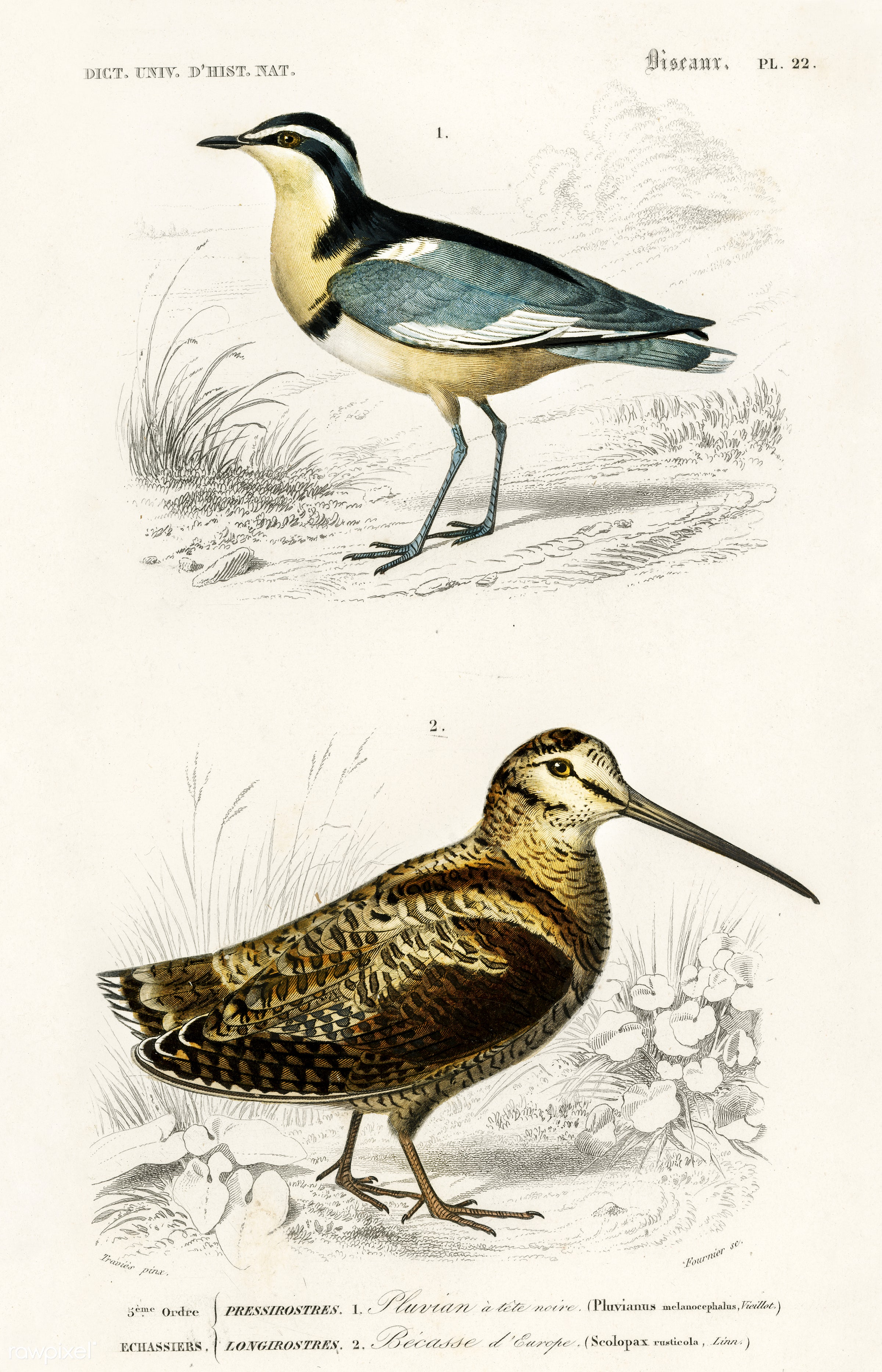 Different types of birds illustrated by Charles Dessalines D' Orbigny (1806-1876) Digitally enhanced from our own 1892...