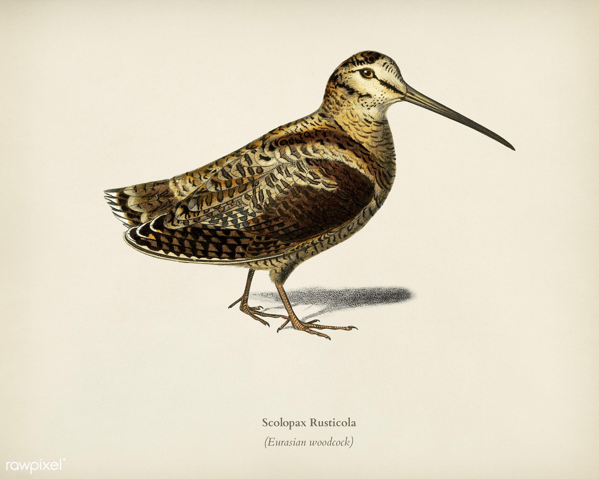 Eurasian Woodcock (Scolopax Rusticola) illustrated by Charles Dessalines D' Orbigny (1806-1876). Digitally enhanced from...