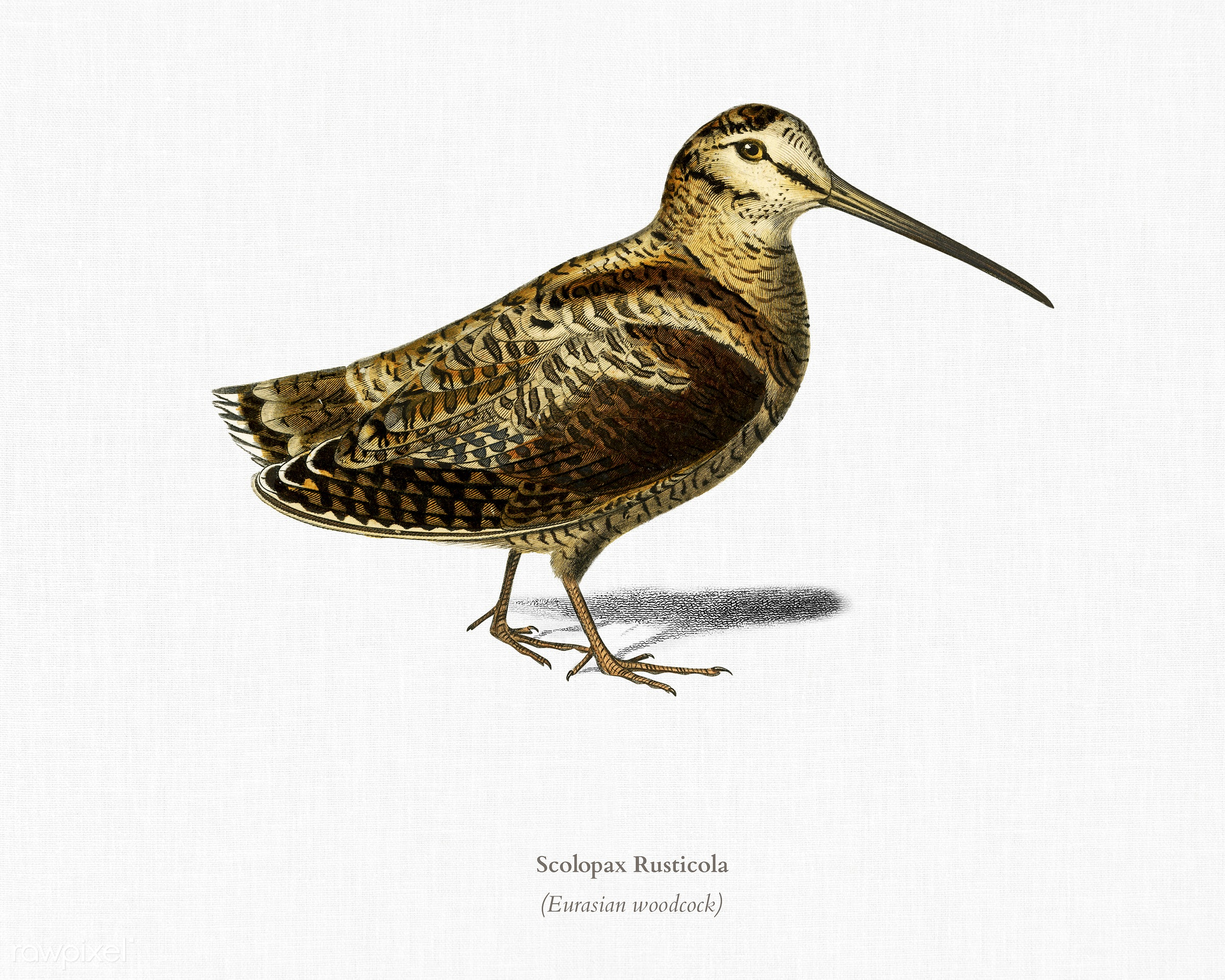 Eurasian Woodcock (Scolopax Rusticola) illustrated by Charles Dessalines D' Orbigny (1806-1876). Digitally enhanced from...